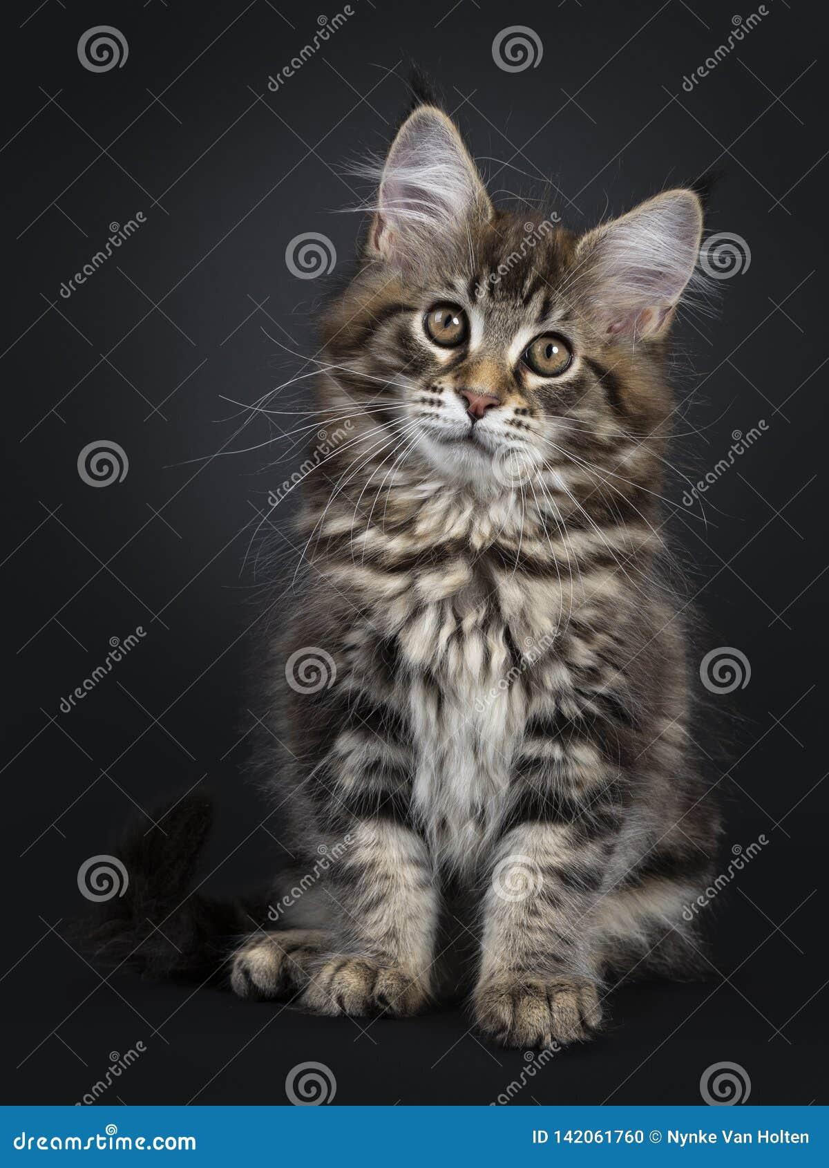 Gullig klassisk svart kattunge för strimmig kattMaine Coon katt på svart bakgrund
