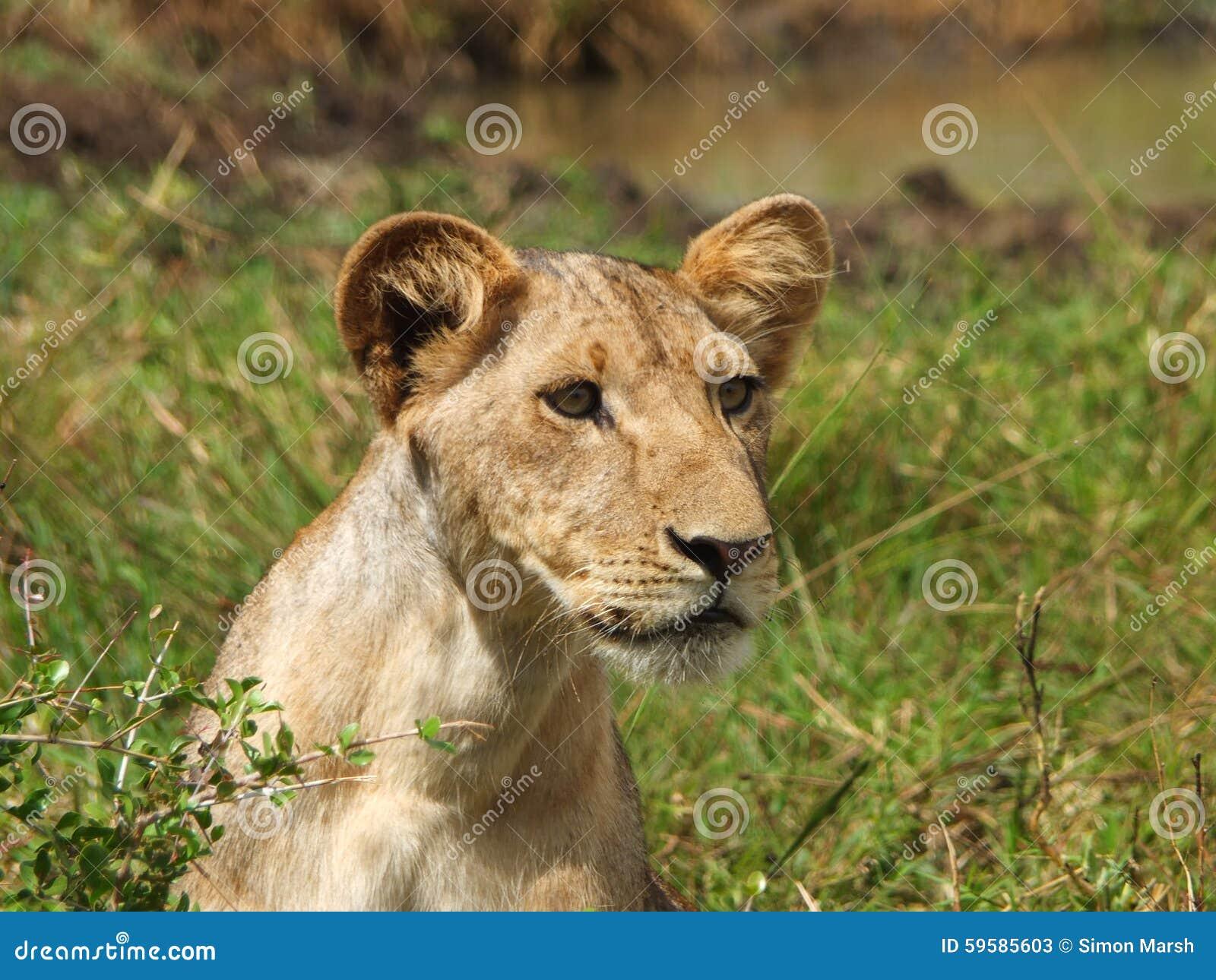 Gullig lion för gröngöling
