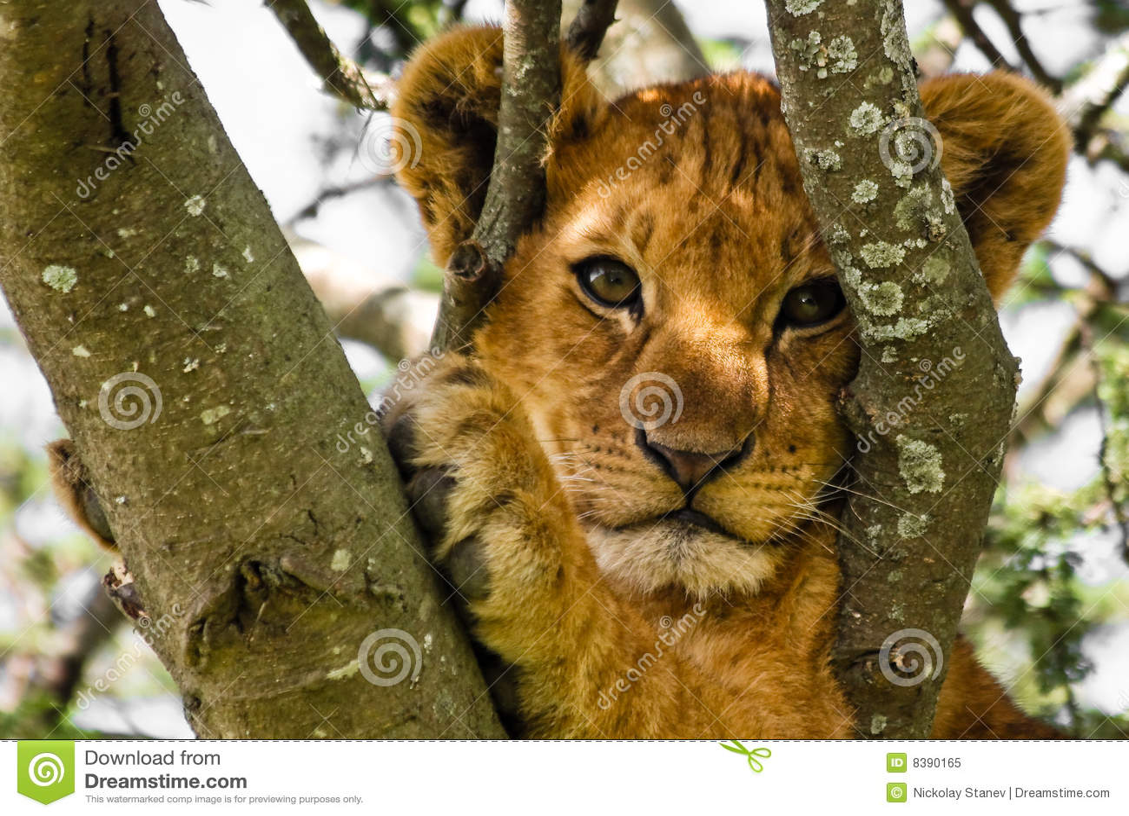 Gullig lionstående för gröngöling