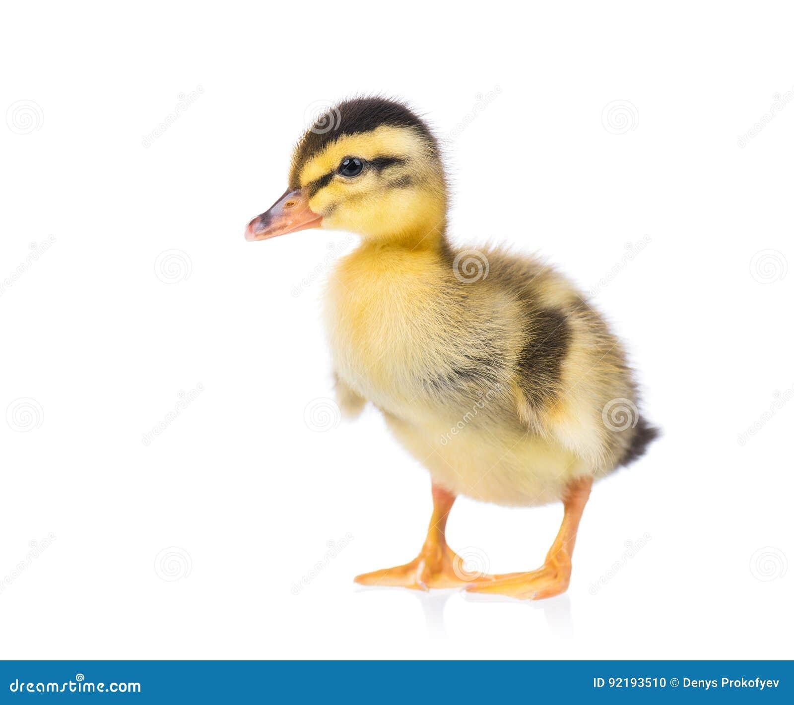 Gullig lite duckling