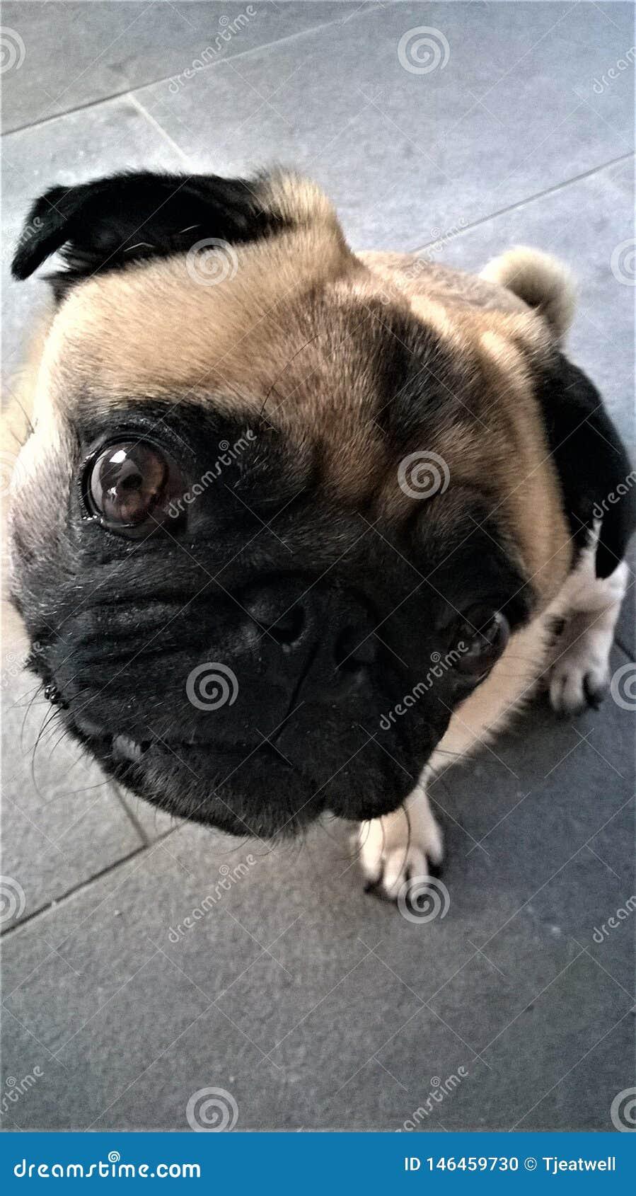 Gullig liten mopshund som ser upp