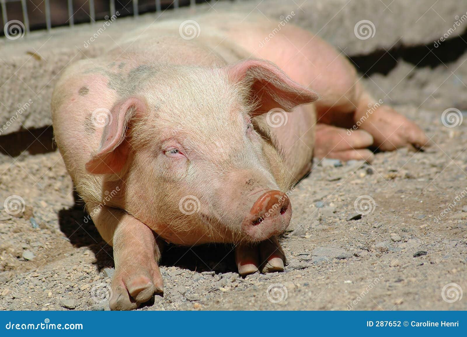 Gullig liten pig