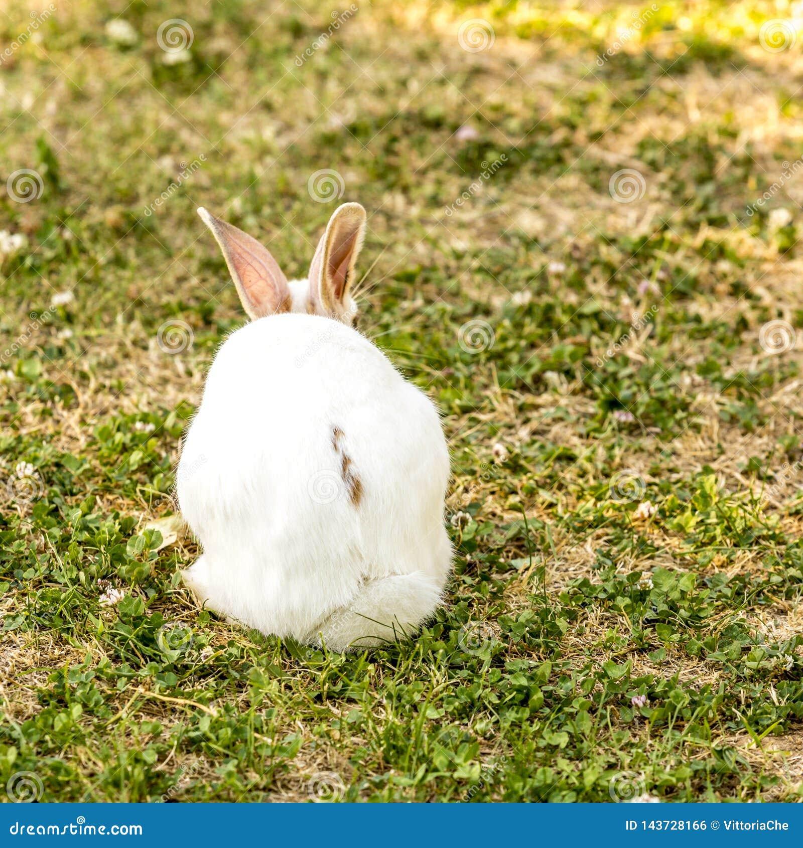 Gullig liten vit kaninOryctolaguscuniculus som sitter p? det gr?na gr?set