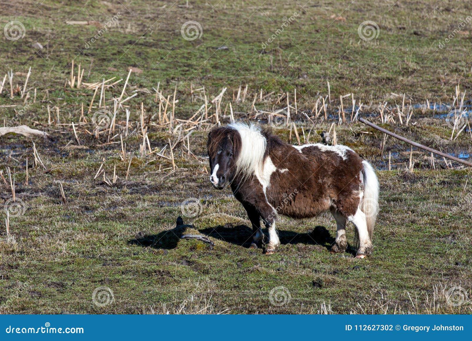 Gullig miniatyrhäst i fält