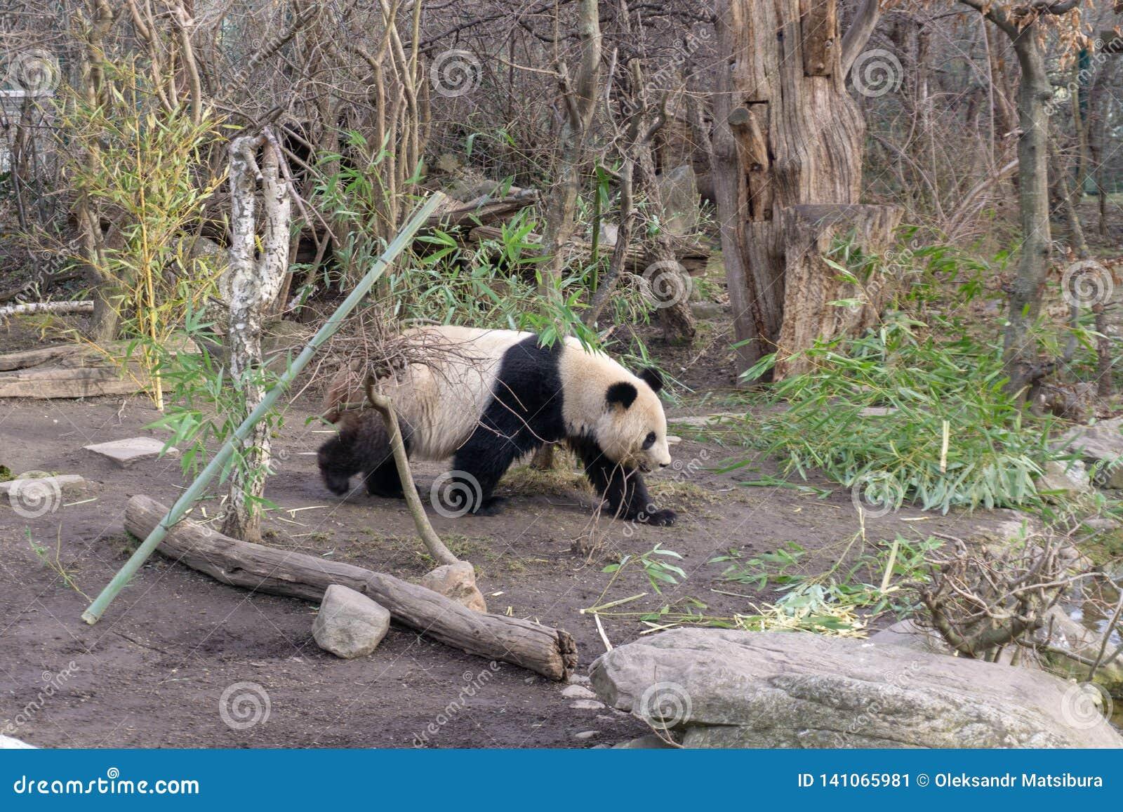 Gullig panda i den Wien zoo Schoenbrunn