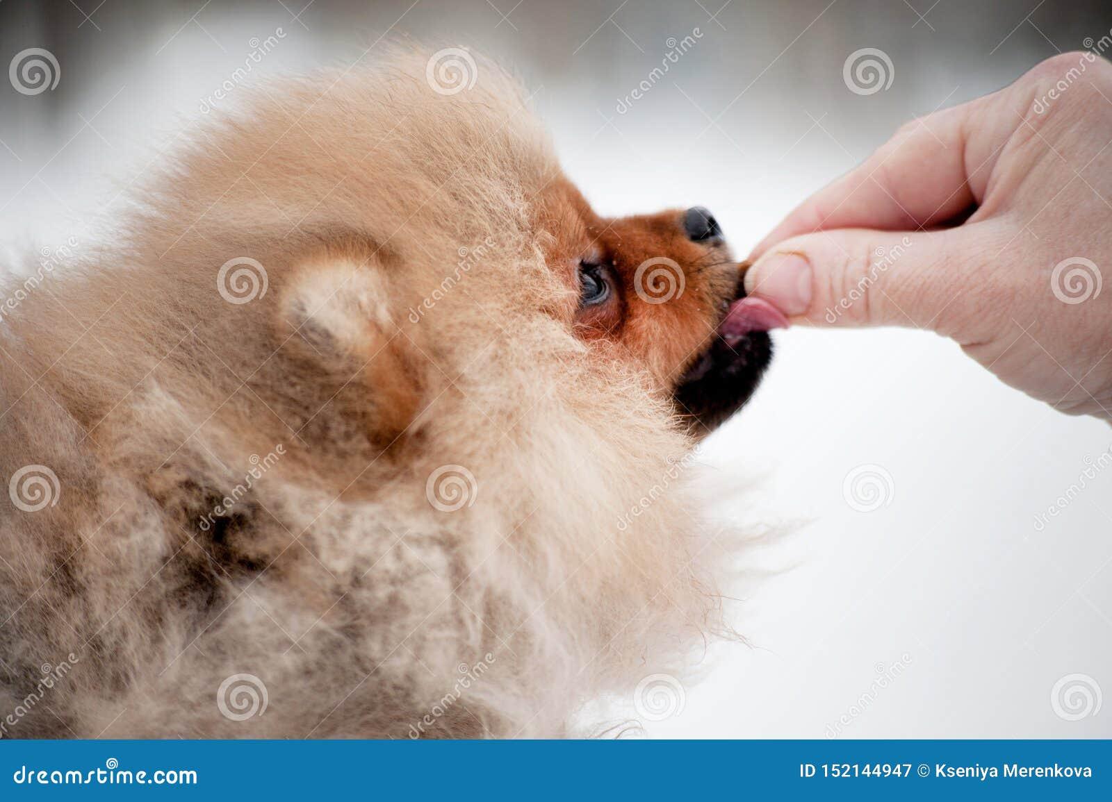 Gullig Pomeranian spizvalp på snö