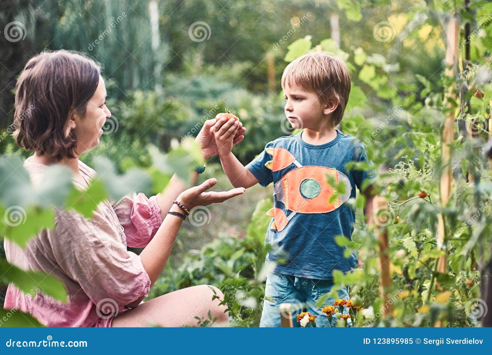 Gullig pys med hans moder som samlar den mogna svarta tomaten i grönsakträdgården Sommar vilar lycklig barndom
