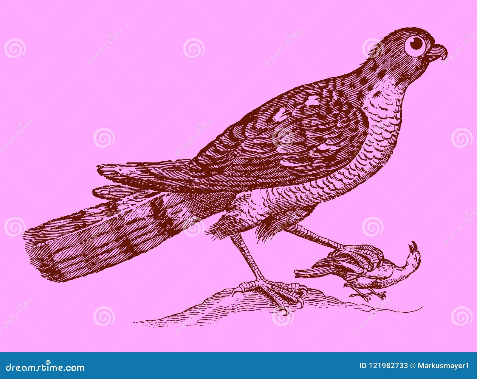 Gullig rovdjur: eurasiansparrowhawk som rymmer en fångad fågel i t