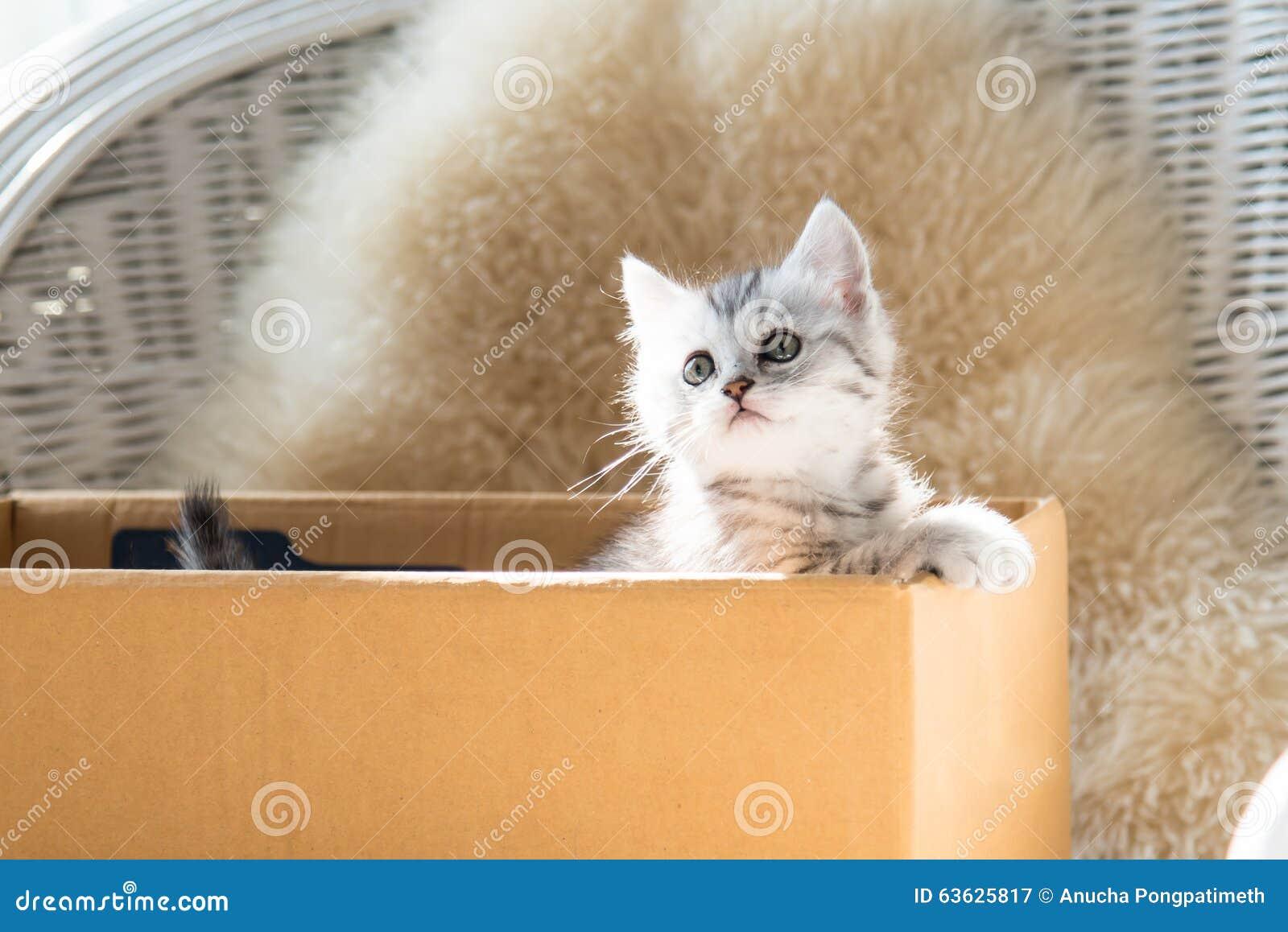 Gullig strimmig kattperserkattunge