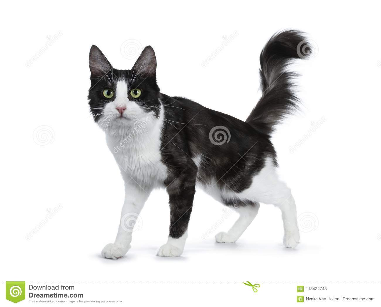 e105c152e5ec11 Gullig svart rök med stående sidovägar för vit turkisk angora- katt på vit  bakgrund med