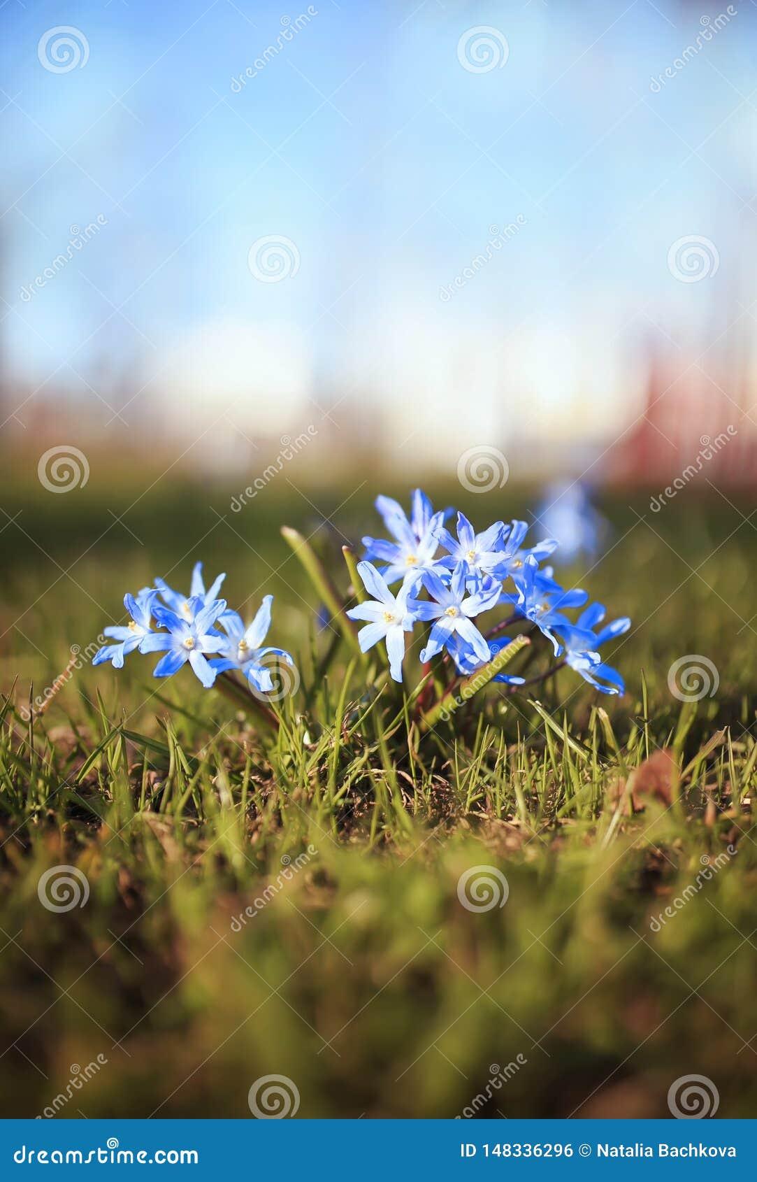 Gulliga blåa delikata blommor som blommas under de varma vårstrålarna i, parkerar