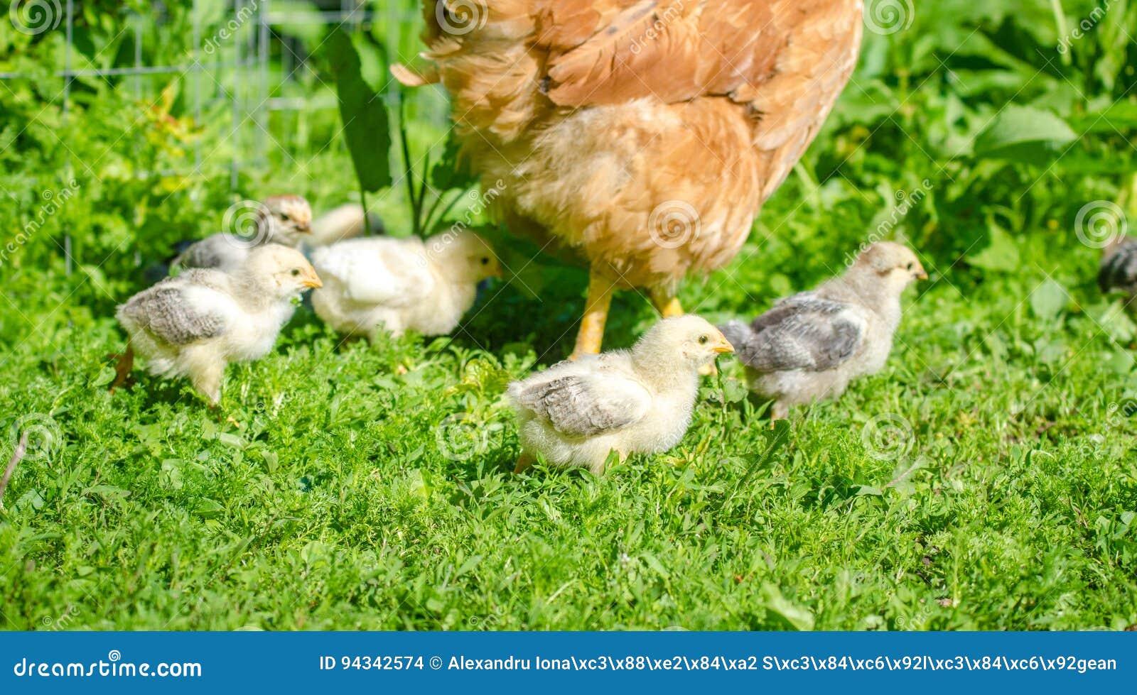 Gulliga hatchlingfågelungar som går i trädgården