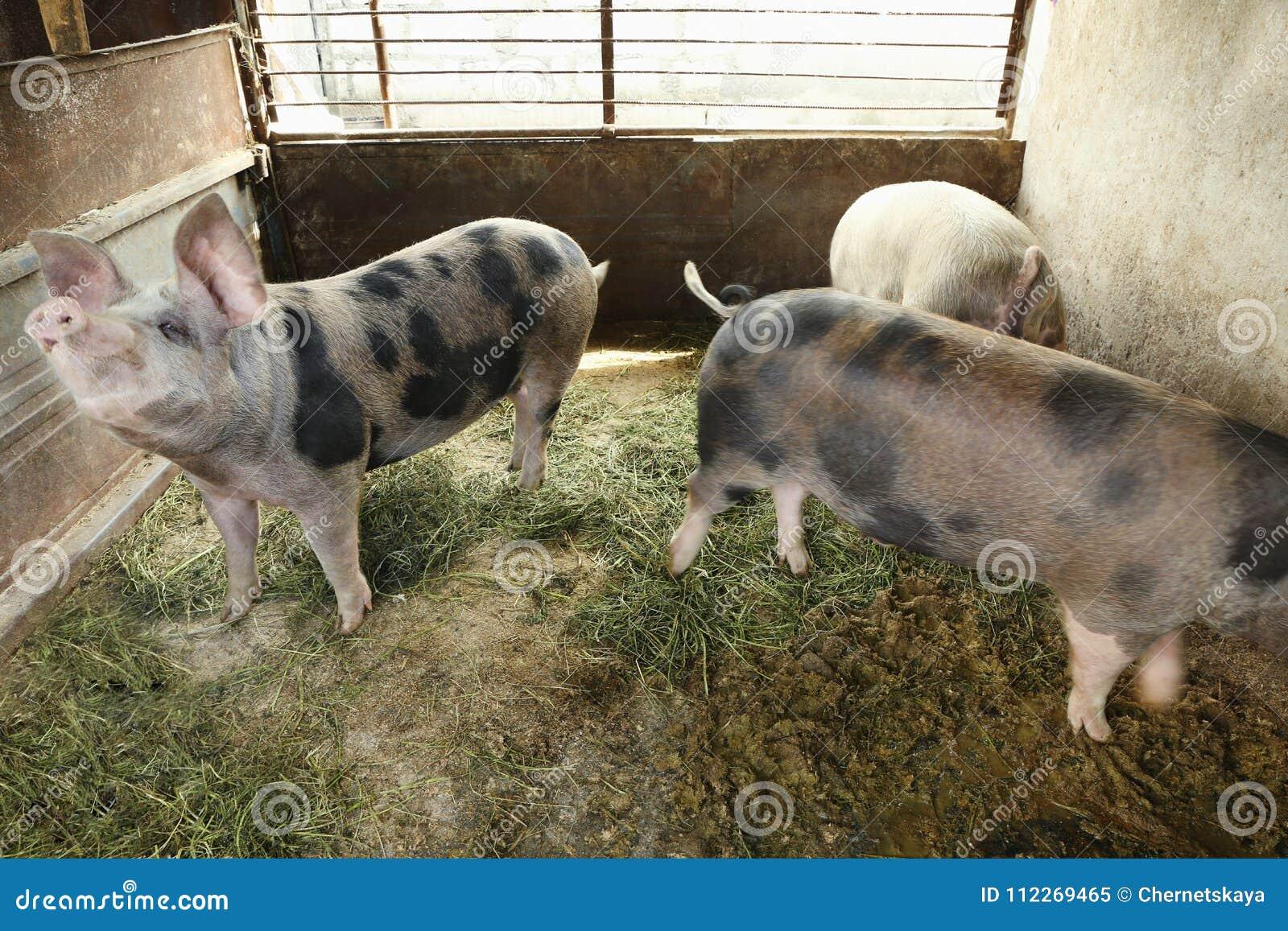 Gulliga inhemska svin