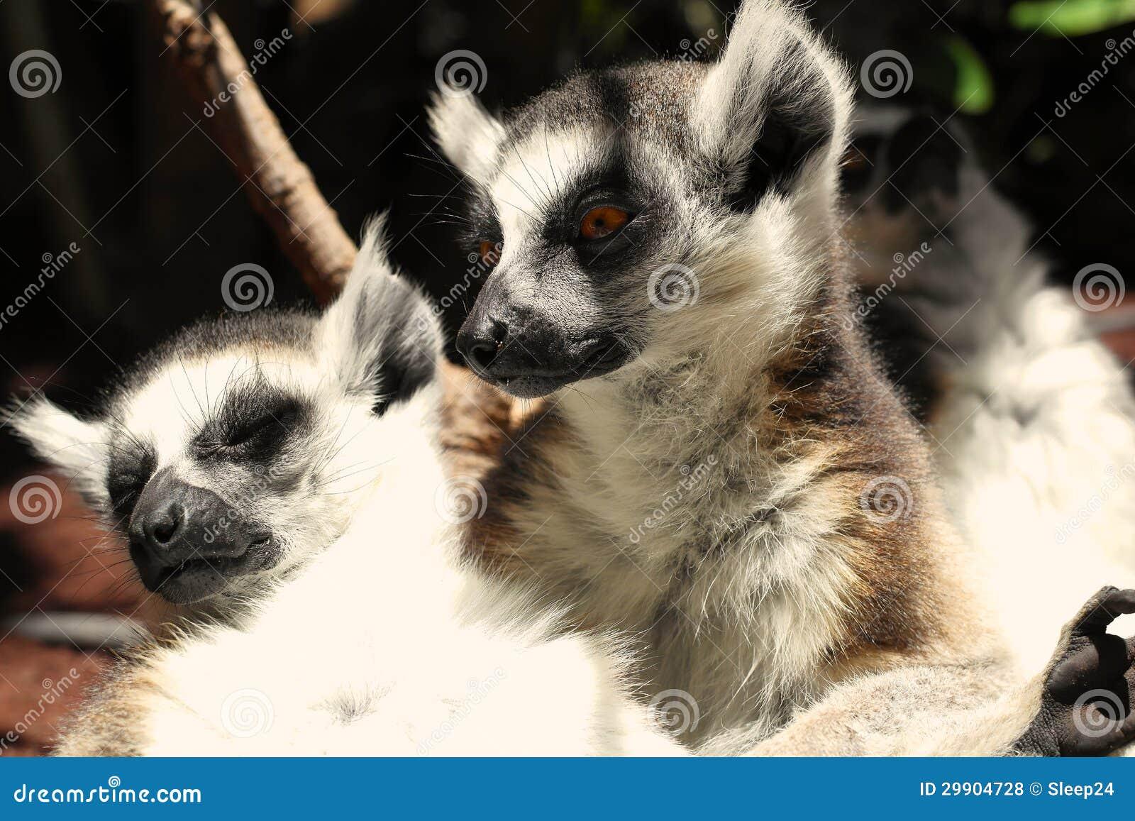 Gulliga ringa-tailed lemurs