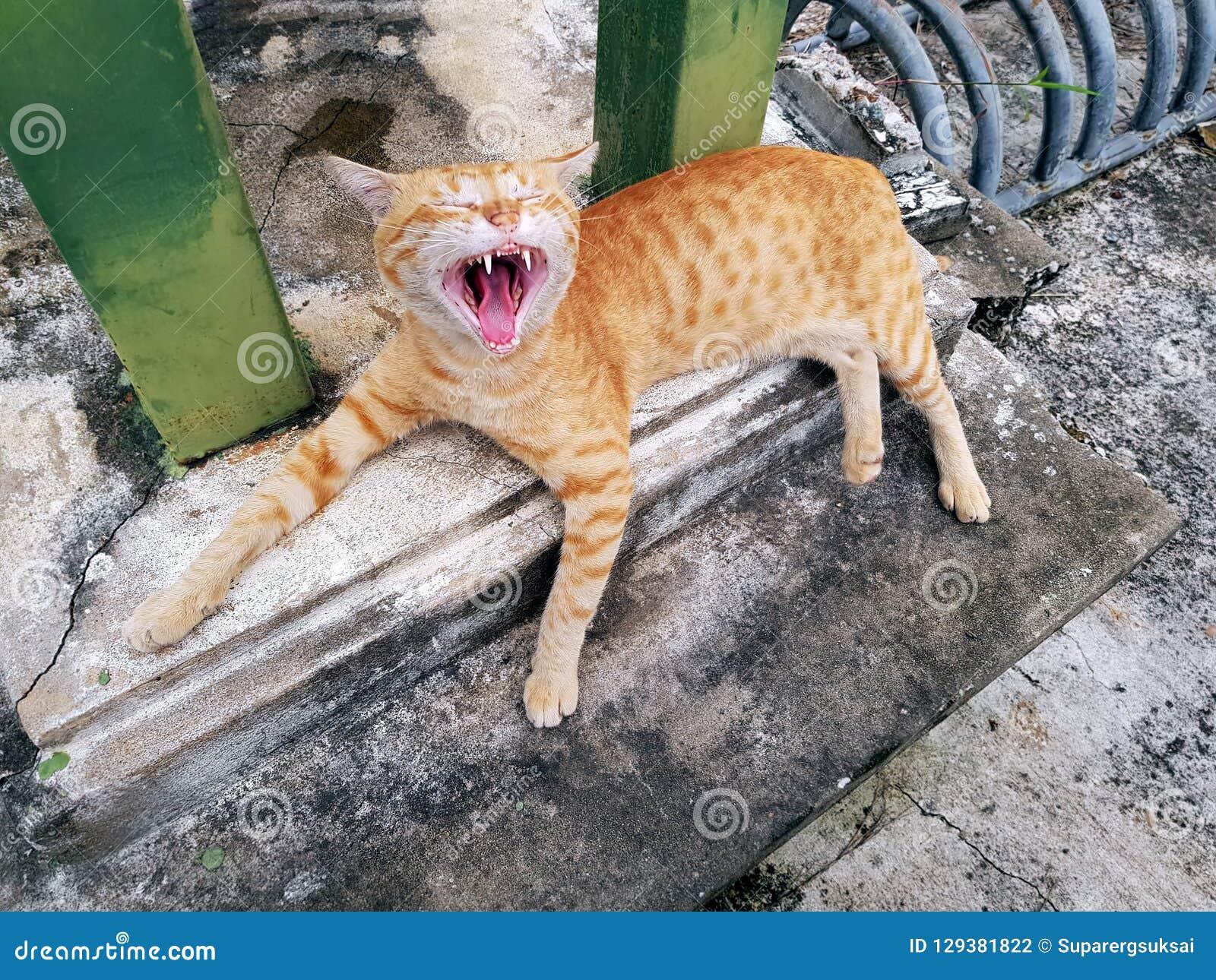 Gulliga sömniga orange inhemska Tabby Cat Yawning Showing Teeth och tunga