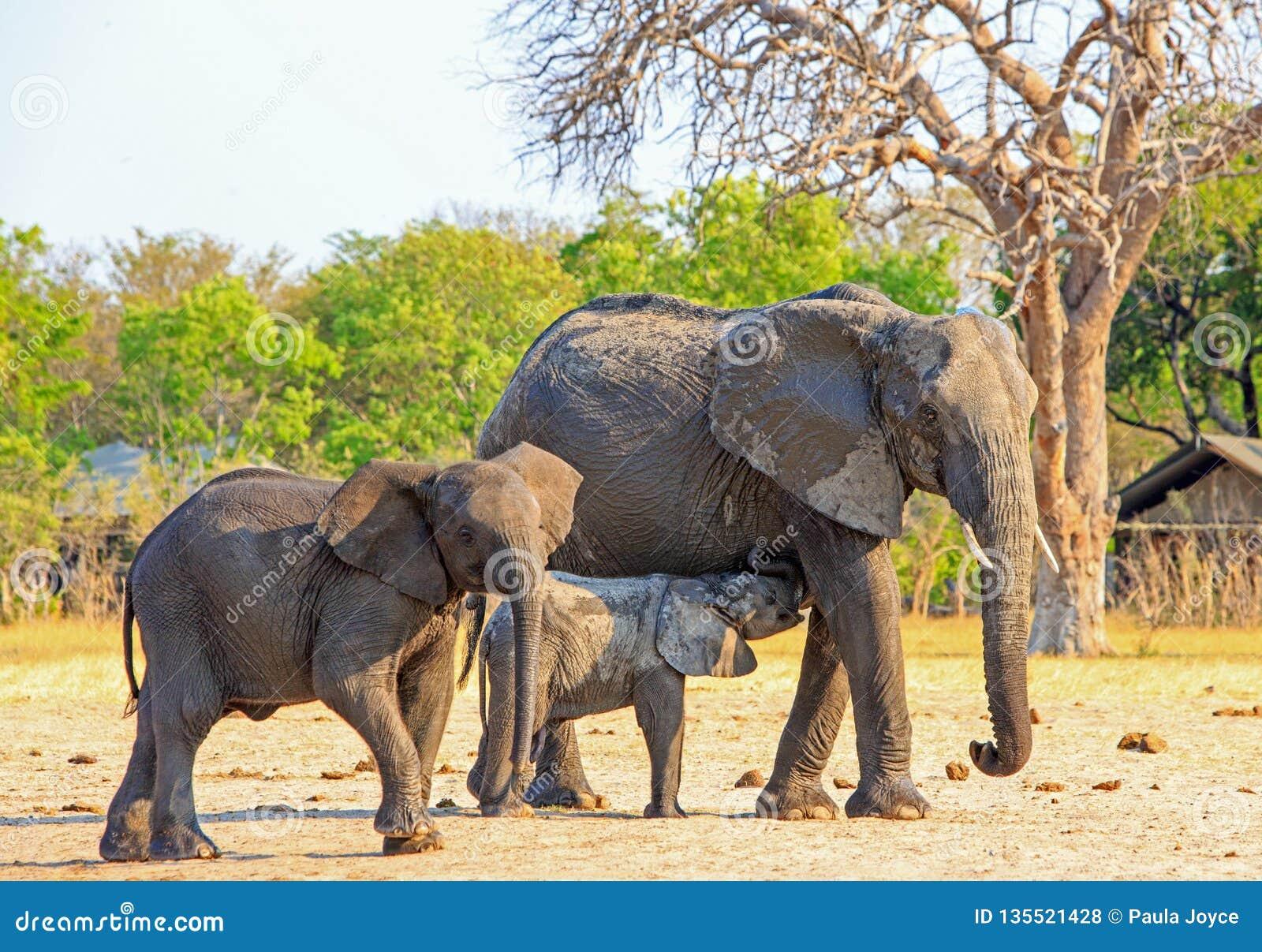 Gulligt behandla som ett barn elefanten som kalven som diar från det, är modern, medan besöka campingplatsen i den Hwange nationa