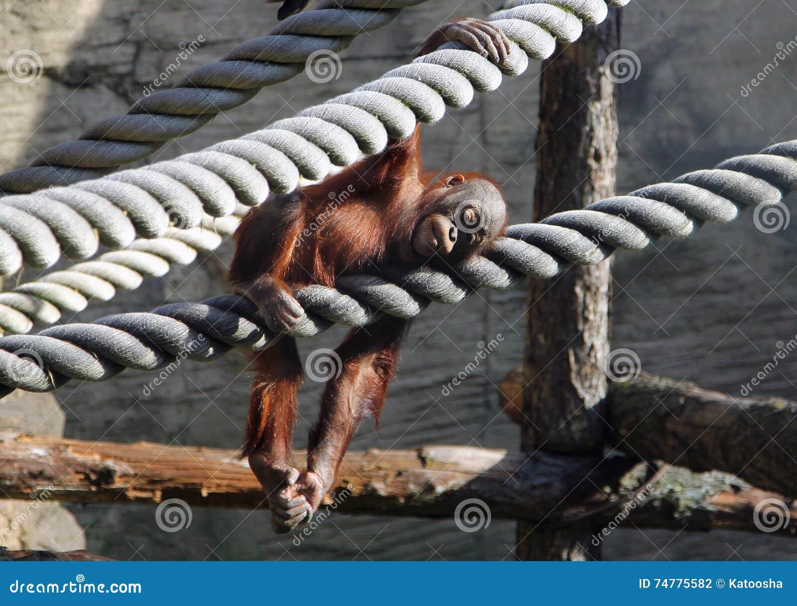 Gulligt behandla som ett barn orangutanget som vilar i aviarium