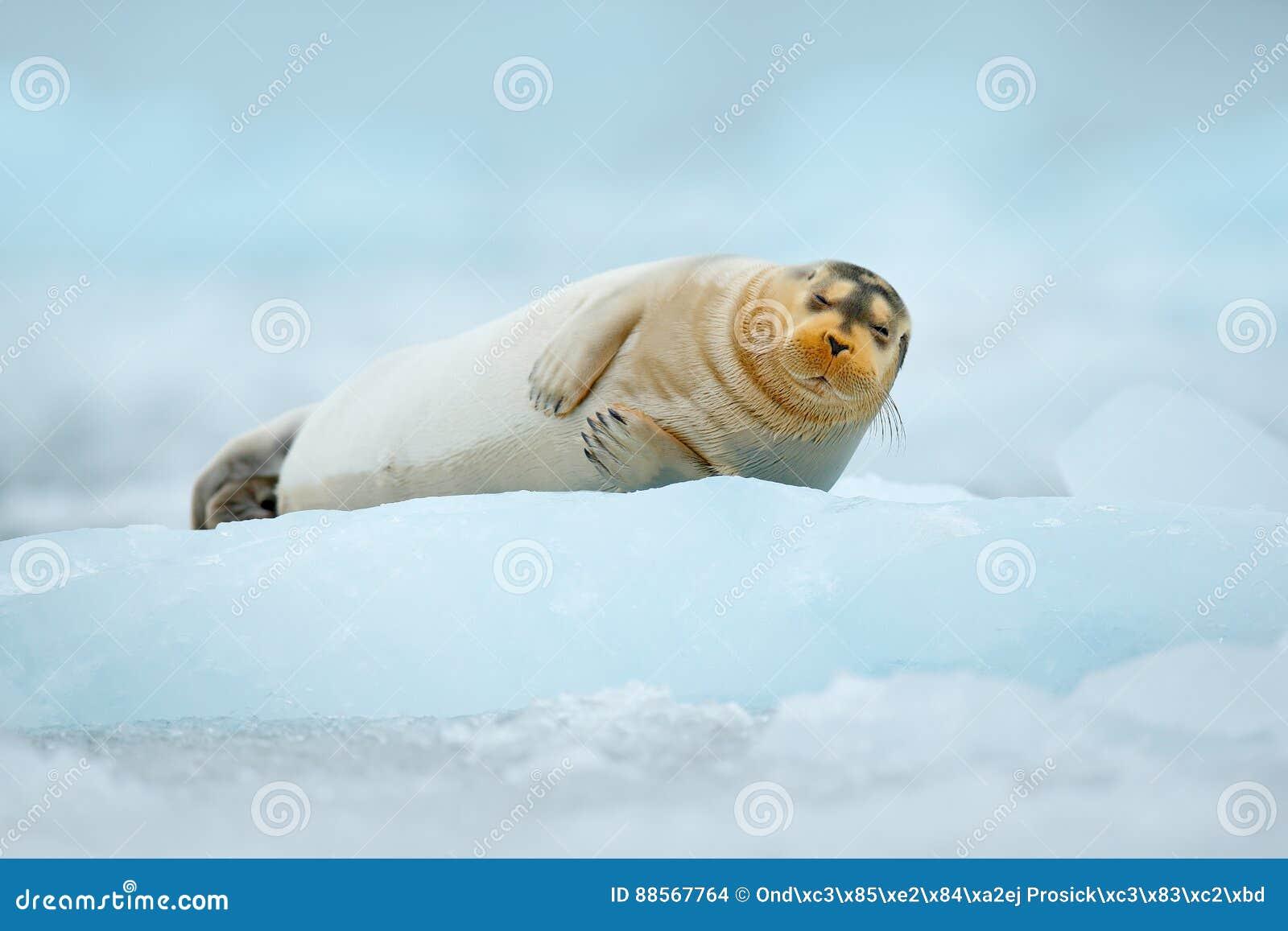Gulligt djurt ligga på isen Blå isbrytare med skyddsremsan kall vinter i Europa Skäggig skyddsremsa på blå och vit is i arktiska