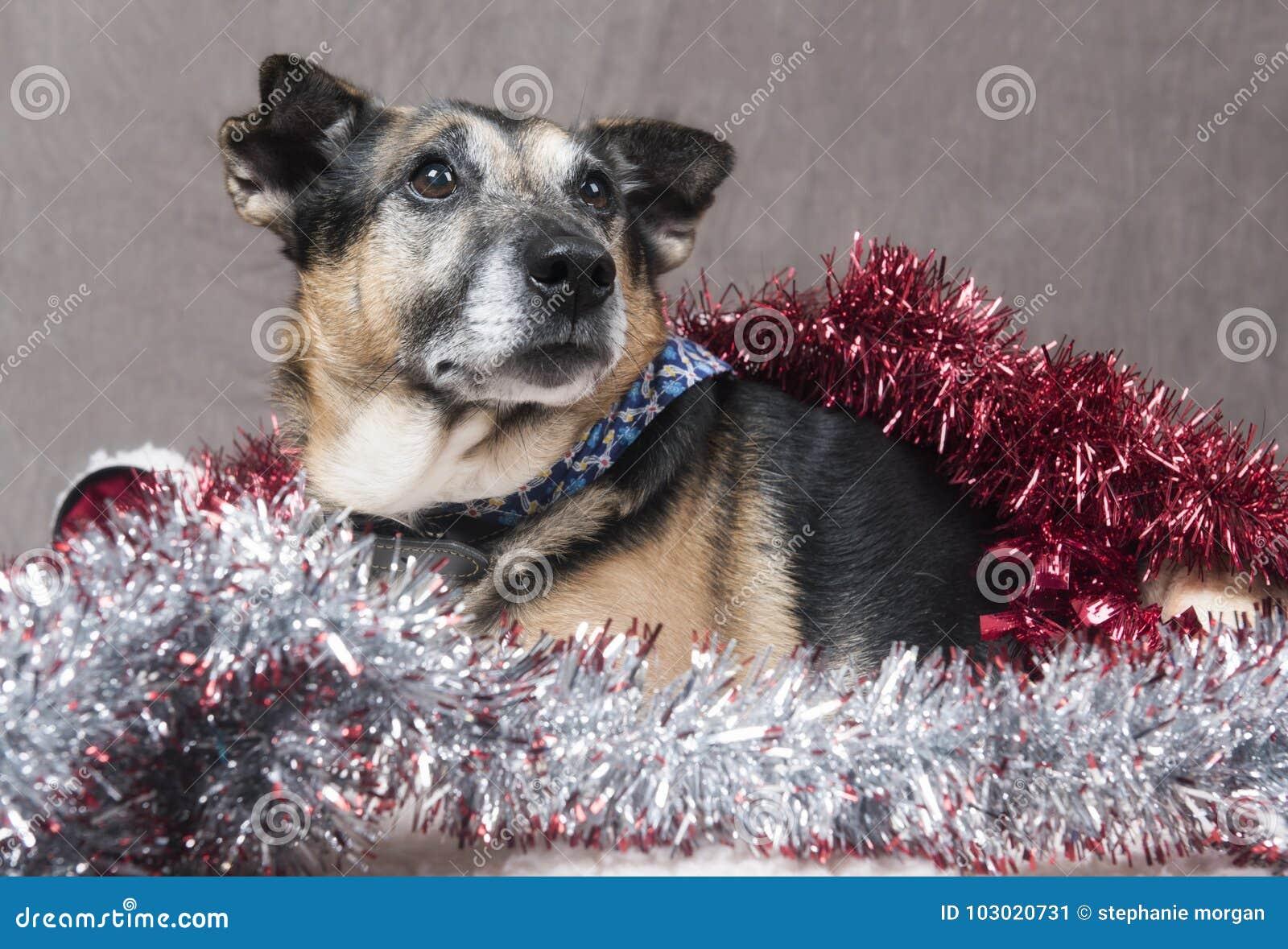 Gulligt koppla av för Corgihund som omges av glitter och julpynt