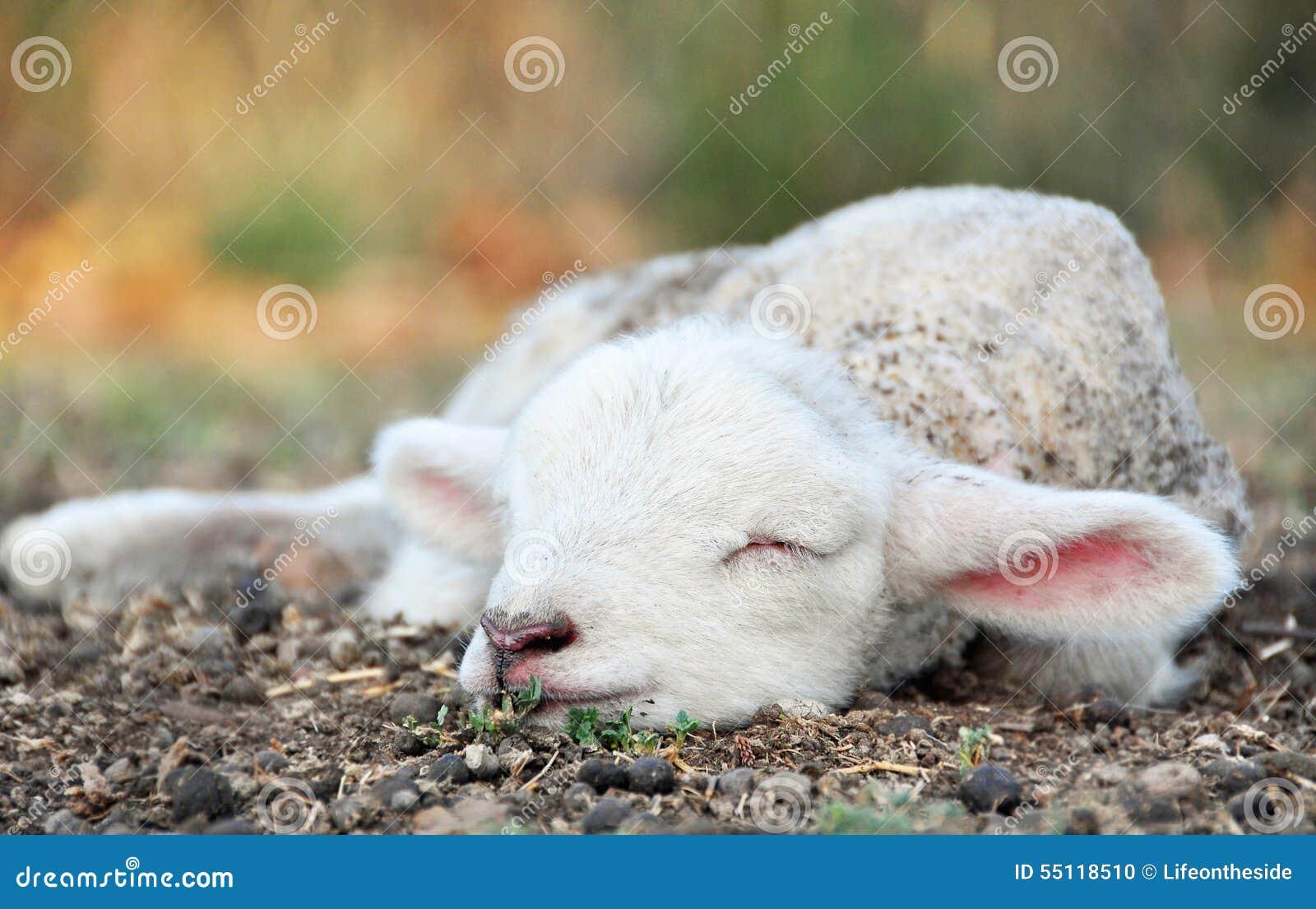 Gulligt nyfött behandla som ett barn lammet som sover i fält på landslantgård