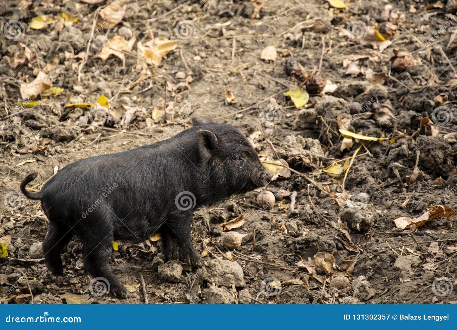 Gulligt ungt svart vietnamesiskt Kruka-buktat svin