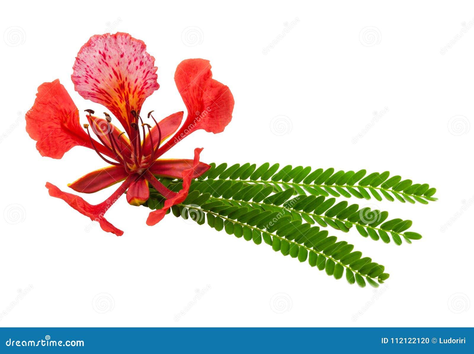 Gulmohar blomma i vit bakgrund Ett gulmohar träd är ett dekorativt träd som kallas vetenskapligt den Delonix regiaen Gulmohen