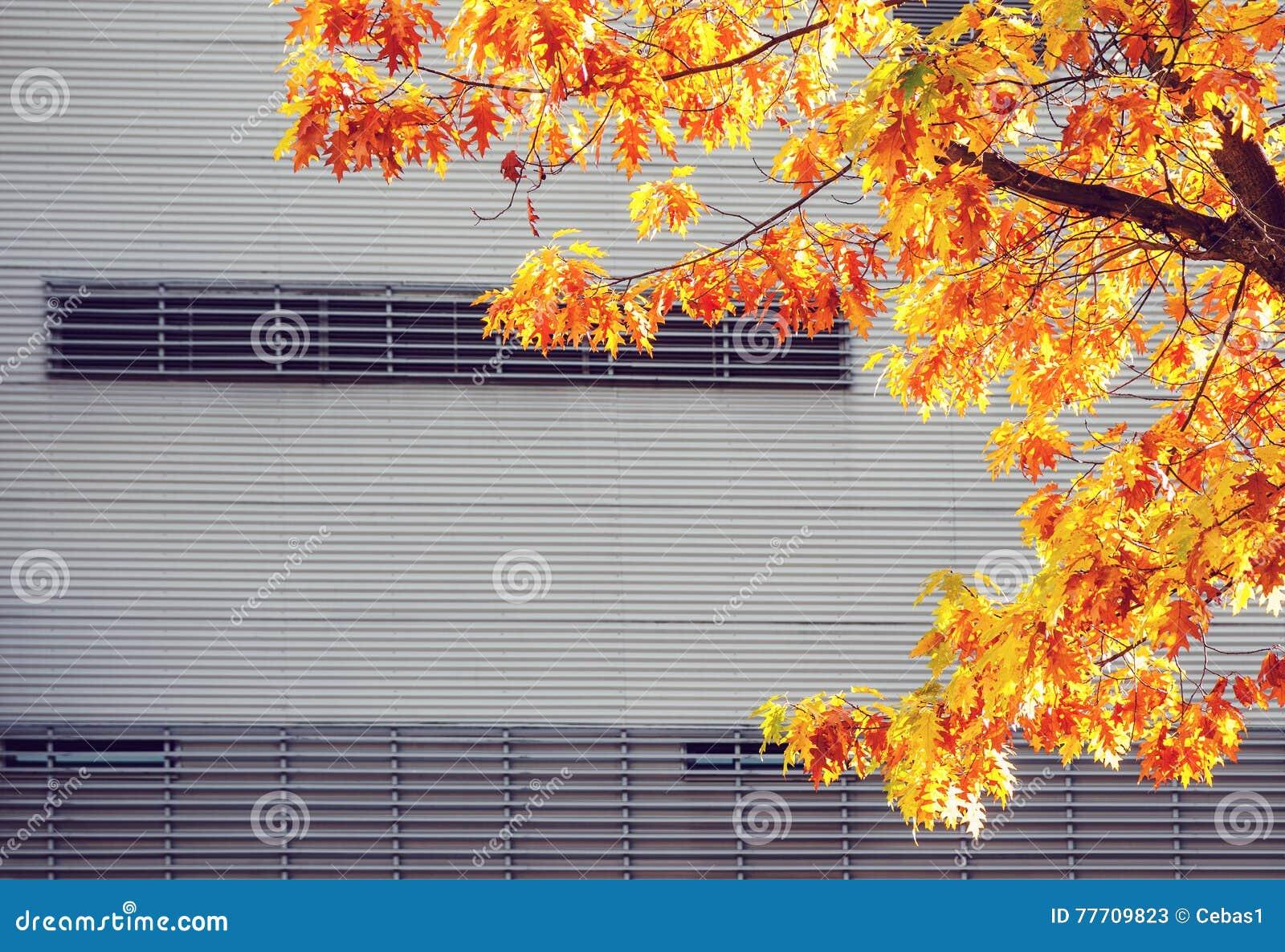 Gult lönnträd mot den stads- väggen för metall