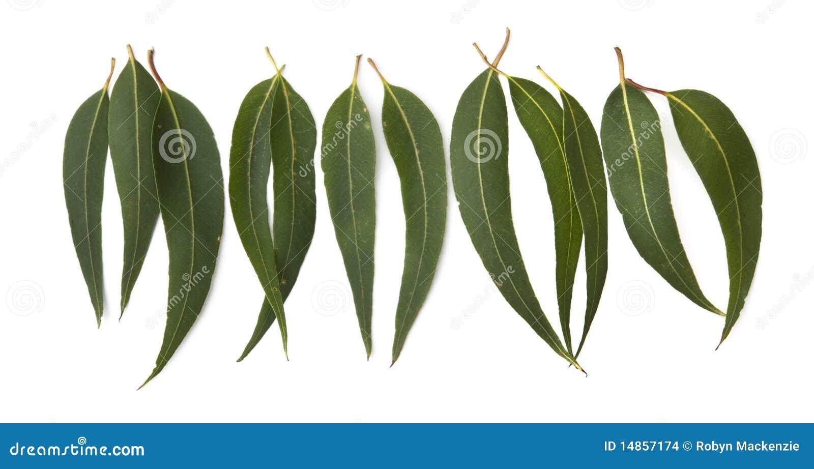 clipart gum leaves - photo #28