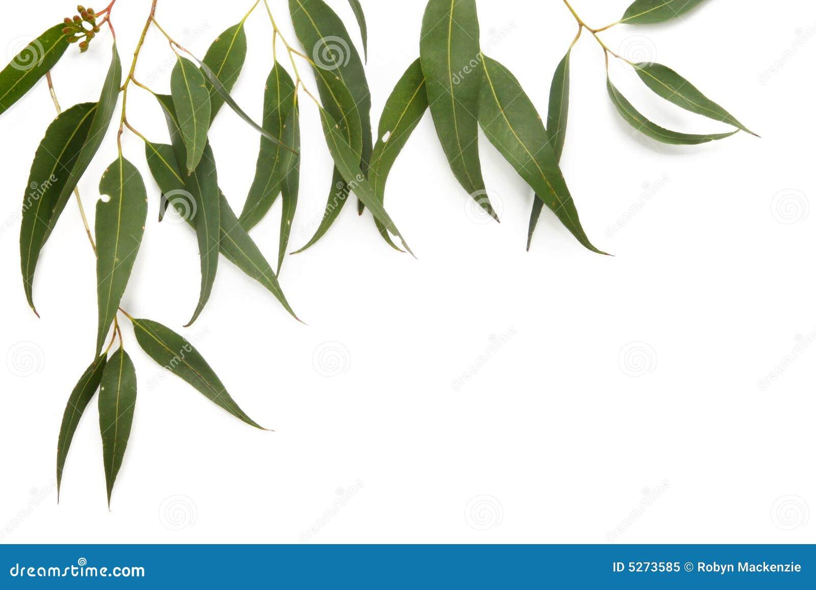 clipart gum leaves - photo #27