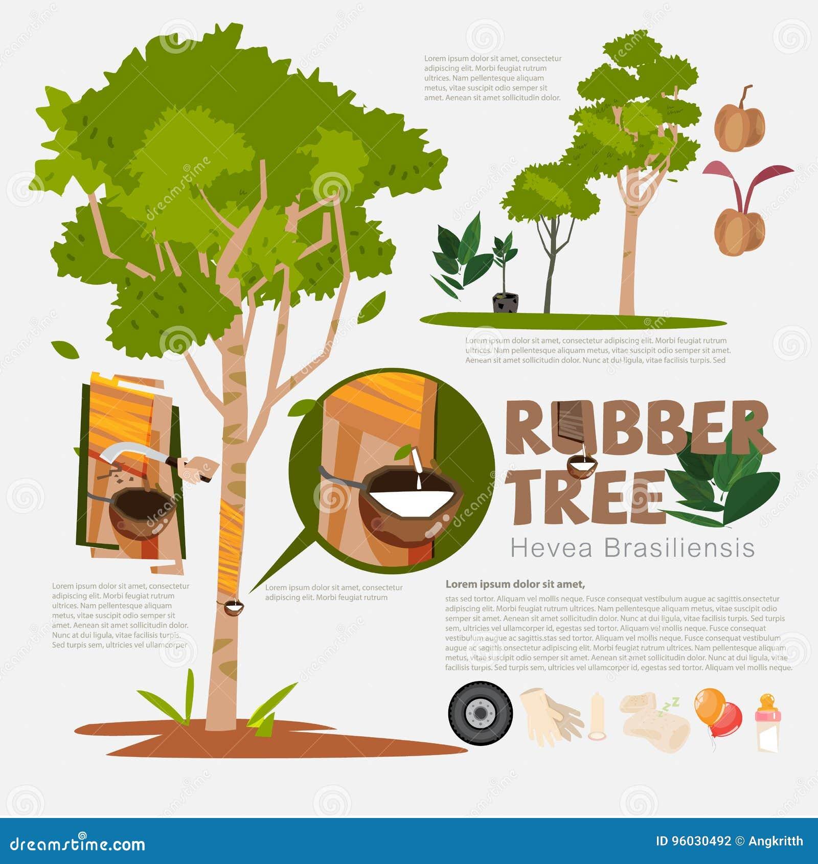 Gumowy drzewo lub Hevea brasiliensis z szczegółów infographic elemen