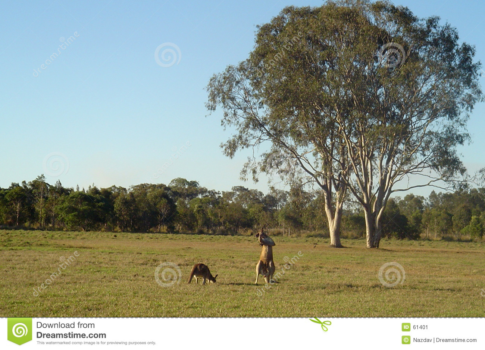 Gumtrees袋鼠