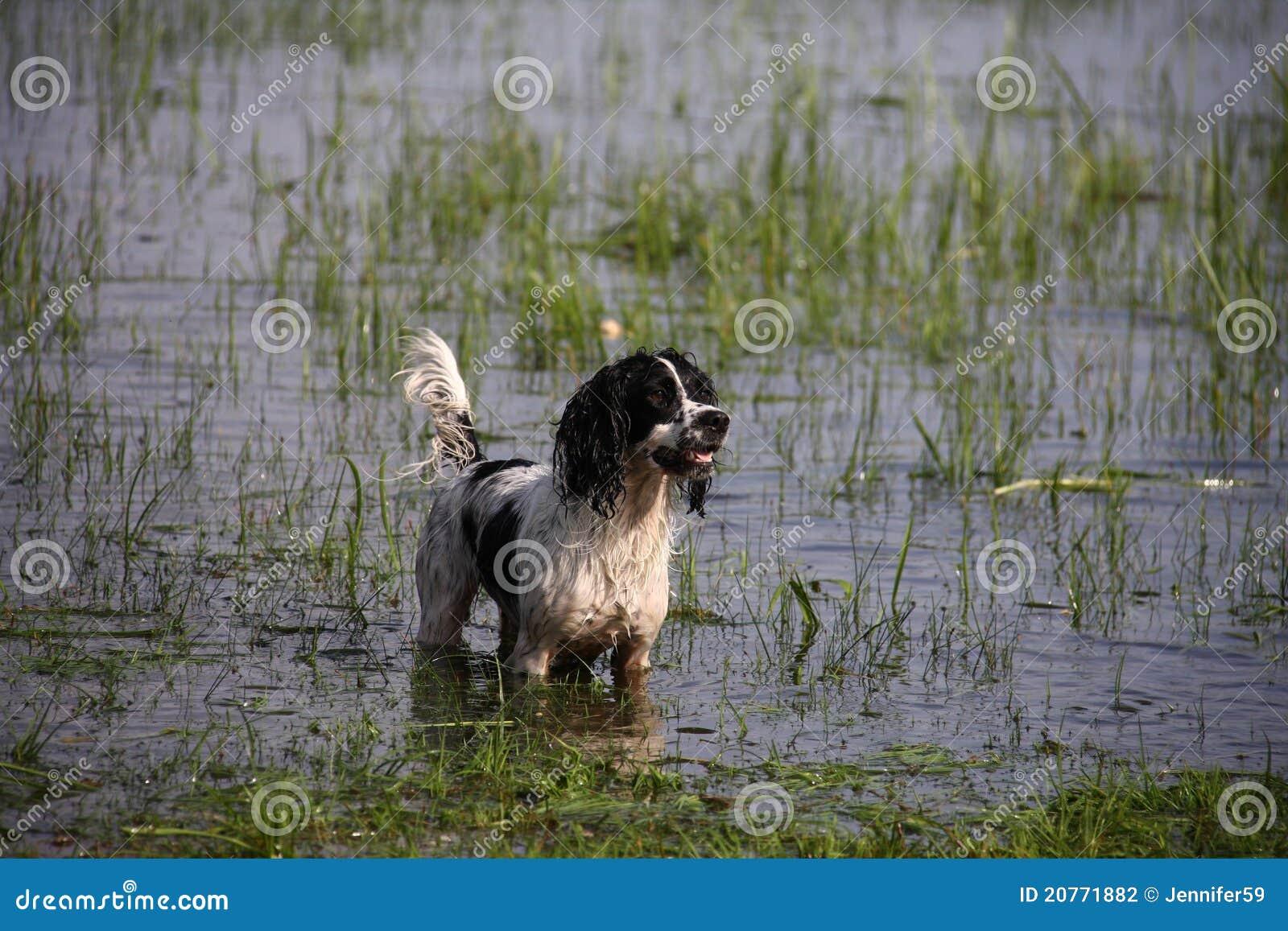 Gundog in water