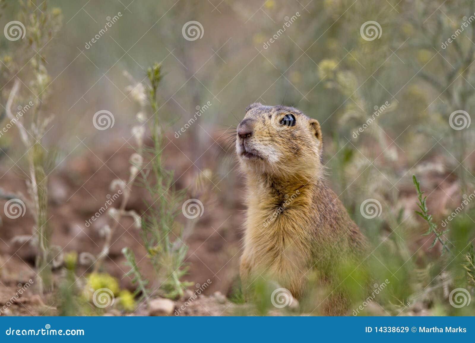 Gunnison's Prairie Dog, Cynomys Gunnisoni Royalty Free ...