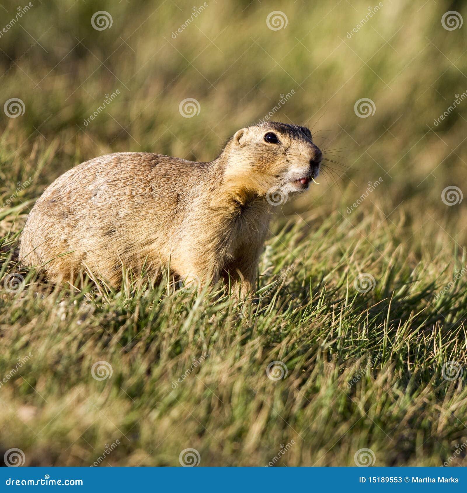 gunnison's prairie dog colorado call - HD1300×1390