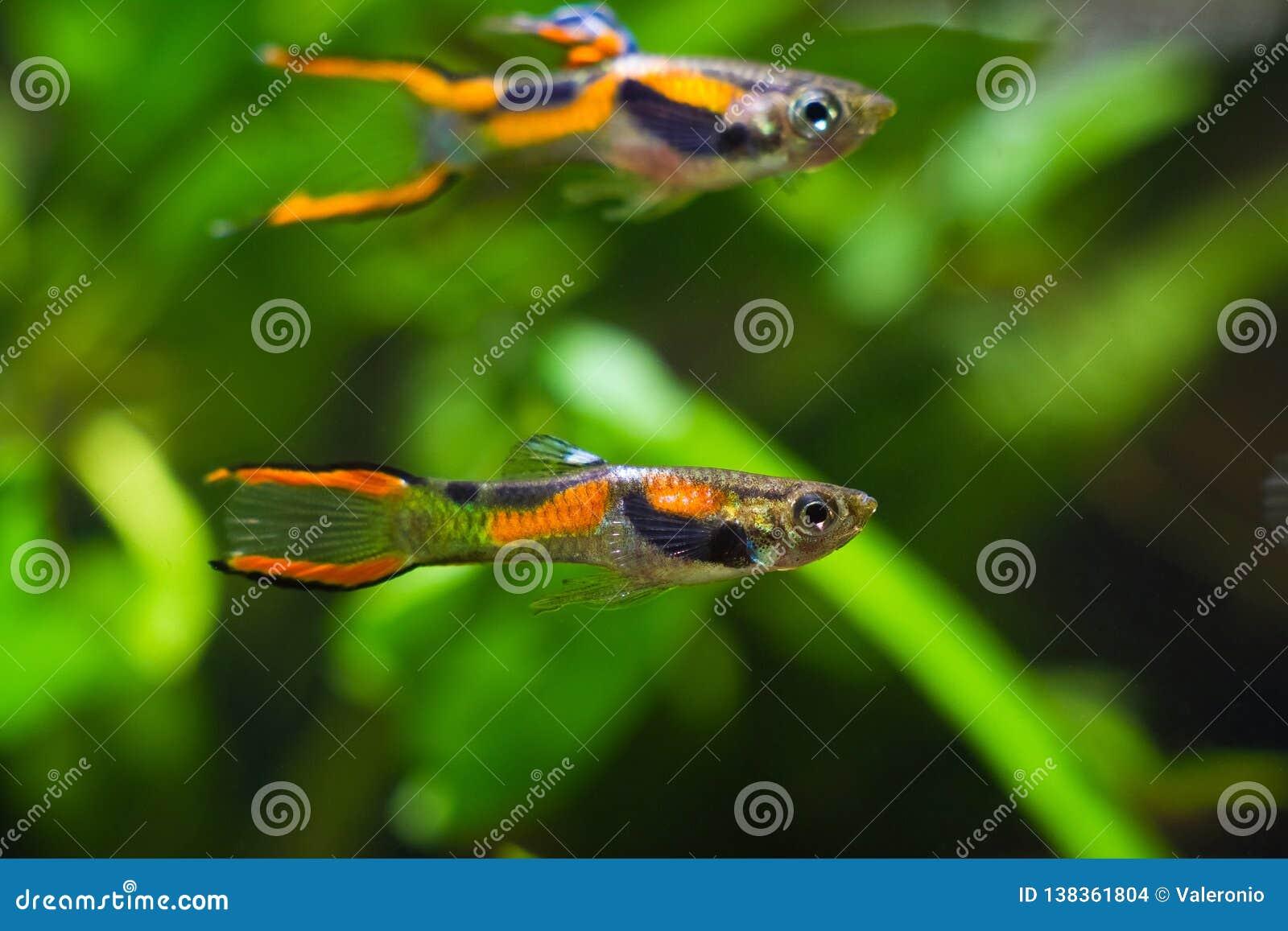 Guppy endler, Poecilia wingei, słodkowodna akwarium ryba, samiec w jaskrawym Laguna Campoma barwieniu, biotopu akwarium