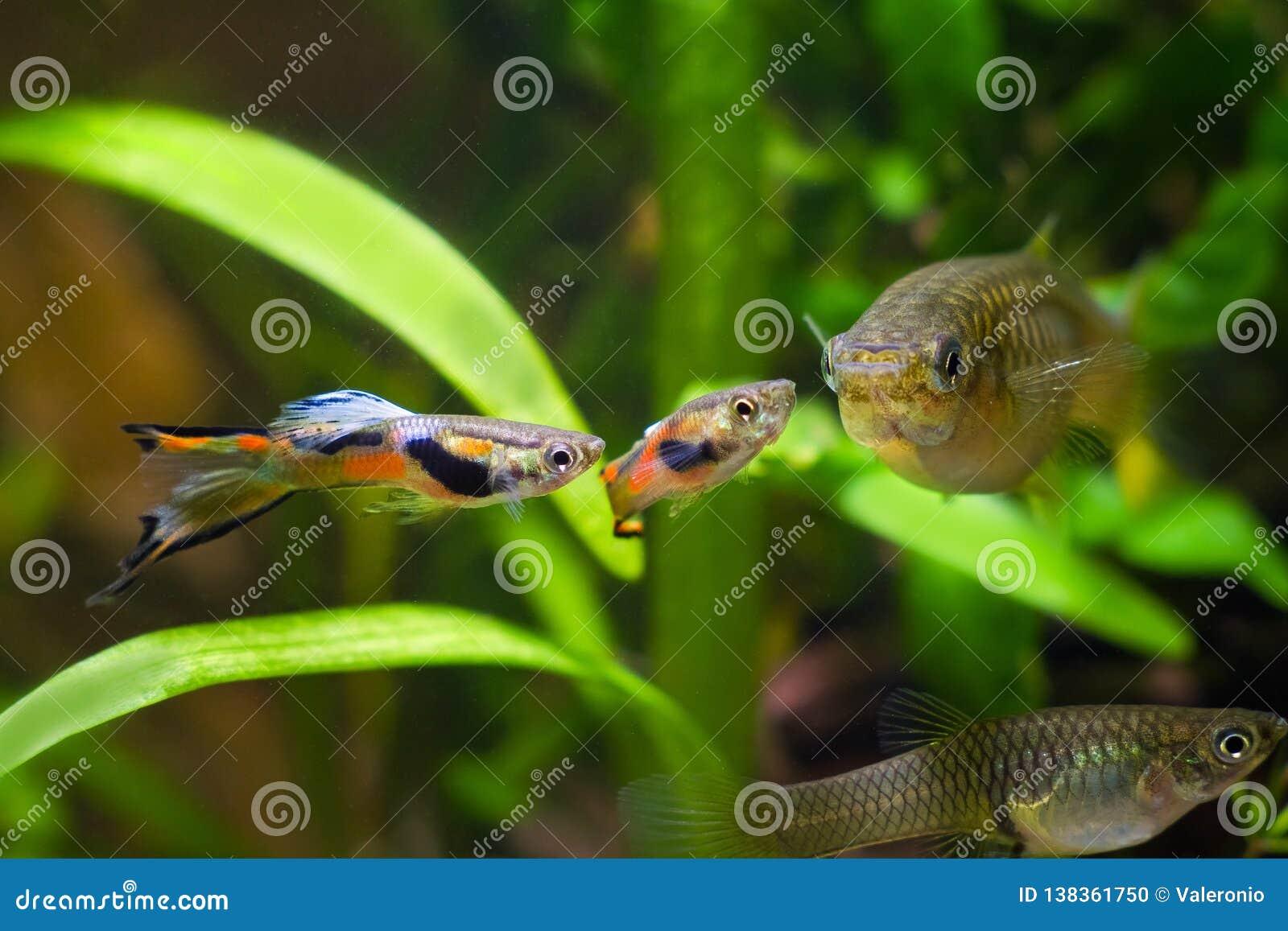 Guppy endler, Poecilia-wingei, zoetwateraquariumvissen, mannetjes in het kuit schieten van kleuring en wijfje, vrijage, biotoopaq