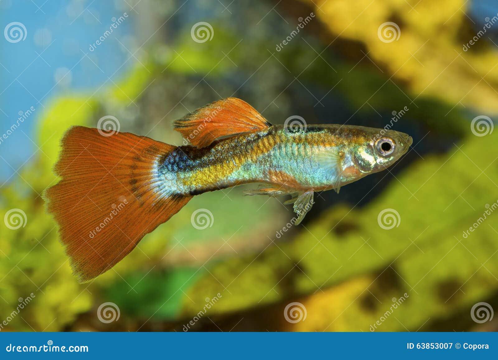 Guppy fish in a aquarium