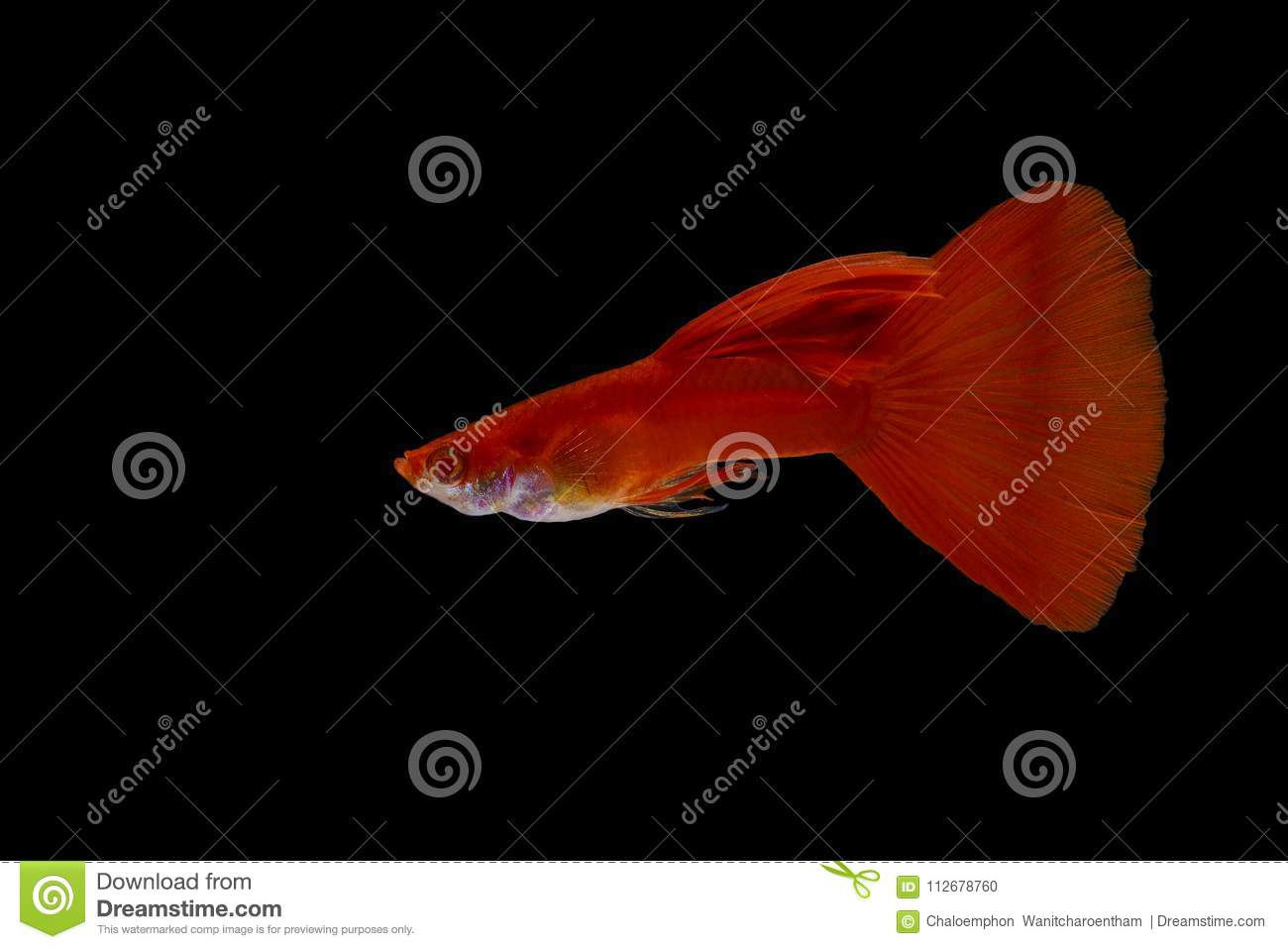 A Guppy Fish With A Bright Red Color On A Black Background Isole ...