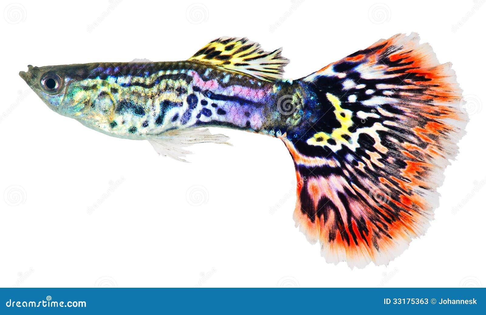 Guppy Poecilia Reticulata Guppy Freshwater Fish Care | Dog ...