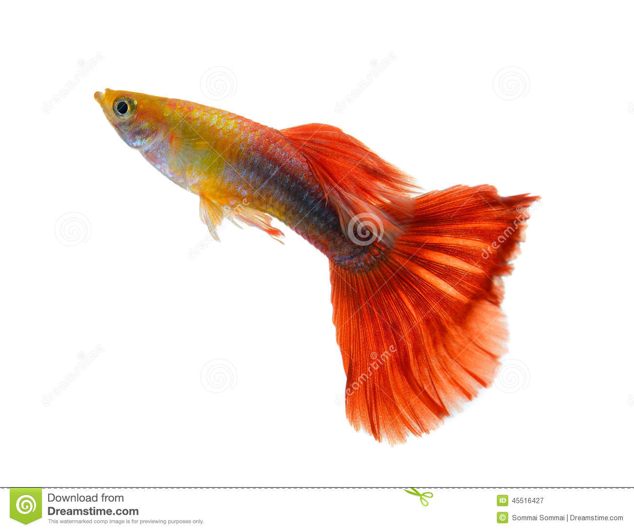 Guppy fish on white background