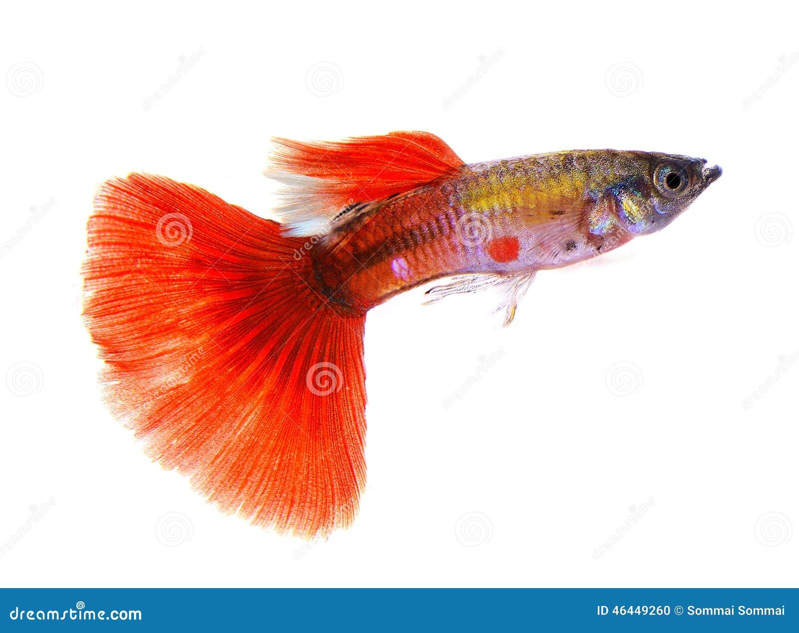 Guppy Fish On White Background Stock Photo - Image of colorful ...