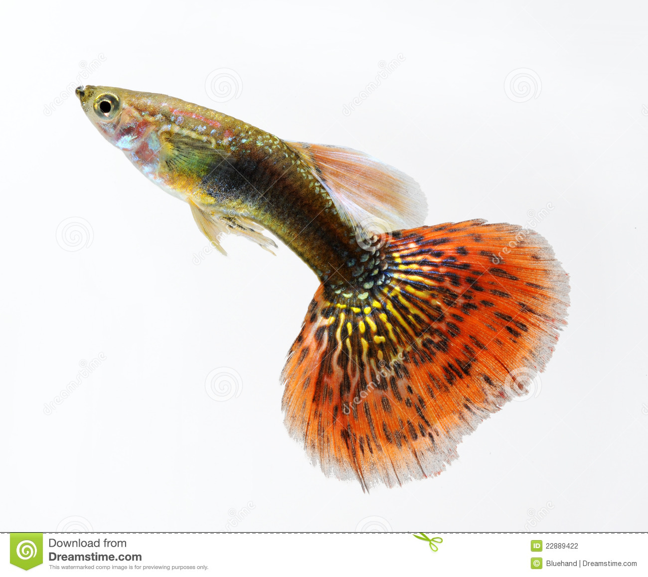 Guppy Pet Fish Swimming Stock Photography - Image: 22889422
