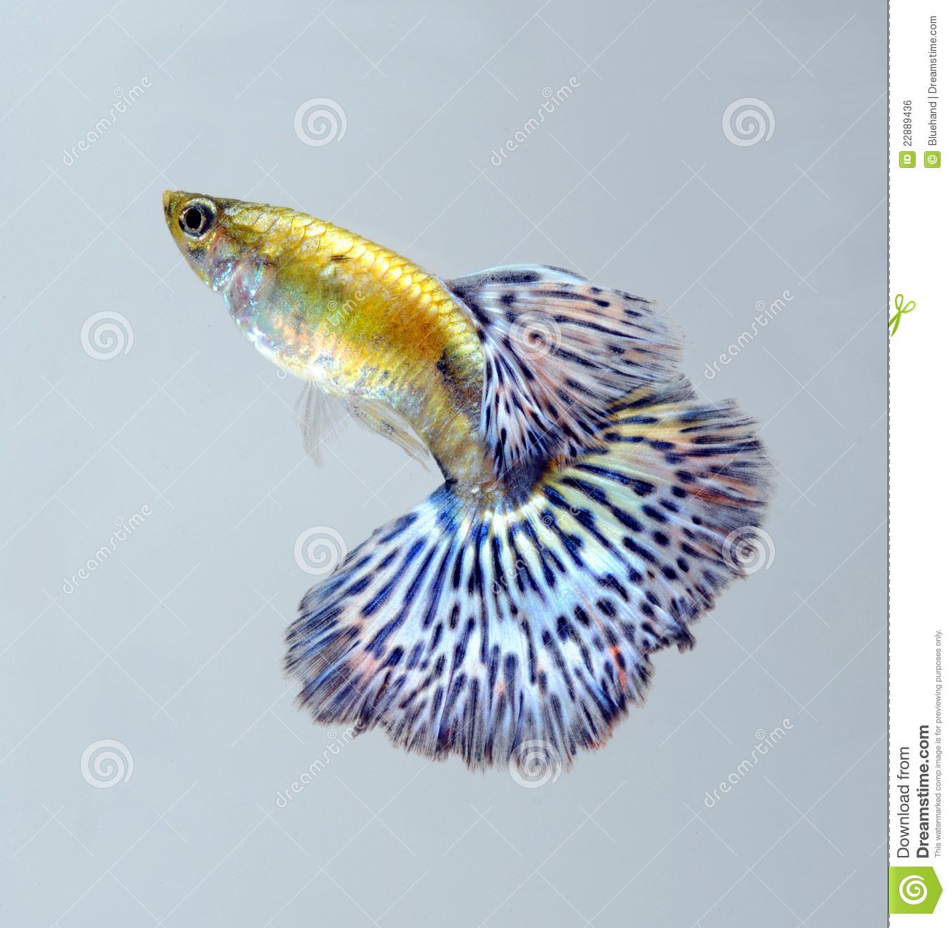 Guppy pet fish swimming royalty free stock image image for Dream of fish swimming