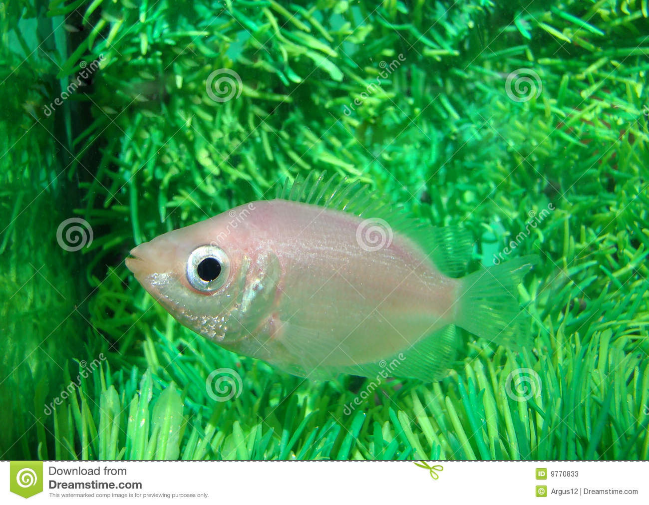 Gurami kissed helostoma temminckii peaceful stock photos for Peaceful freshwater fish