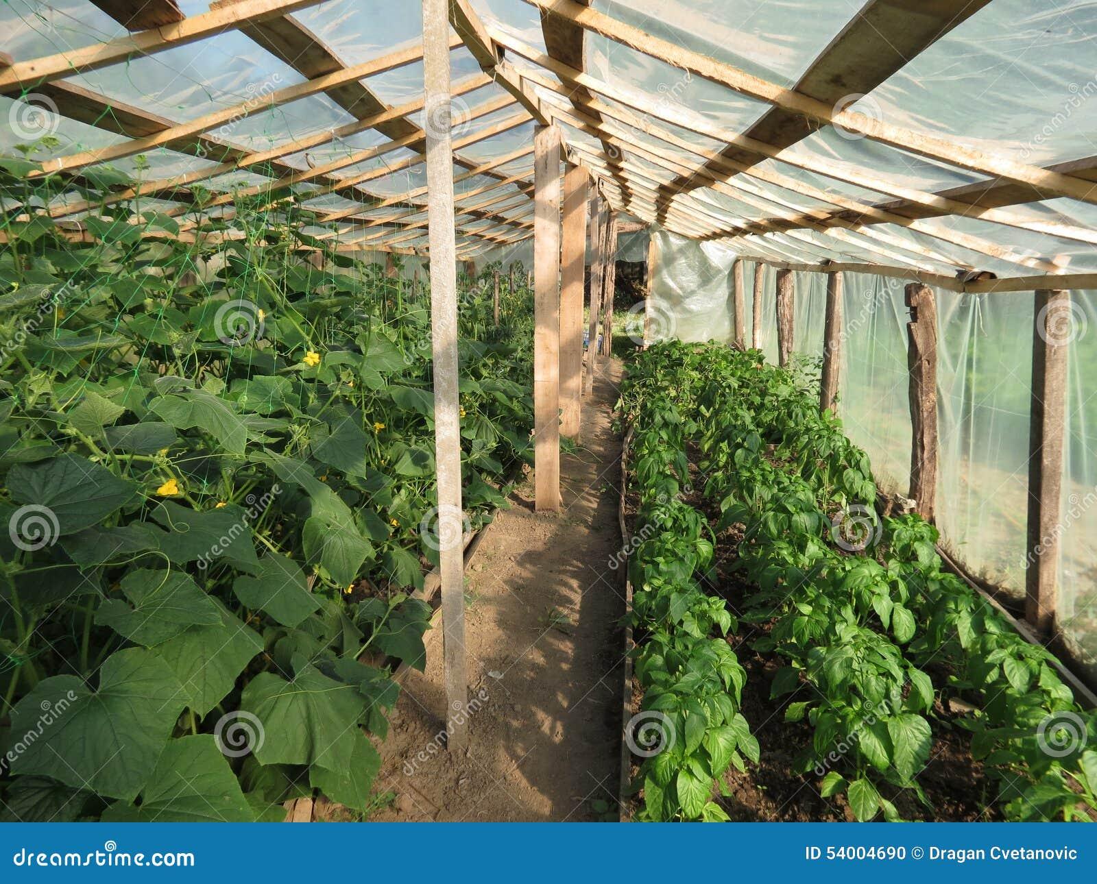 Gurken Und Pfeffer Im Gewachshaus Stockfoto Bild Von Gardening