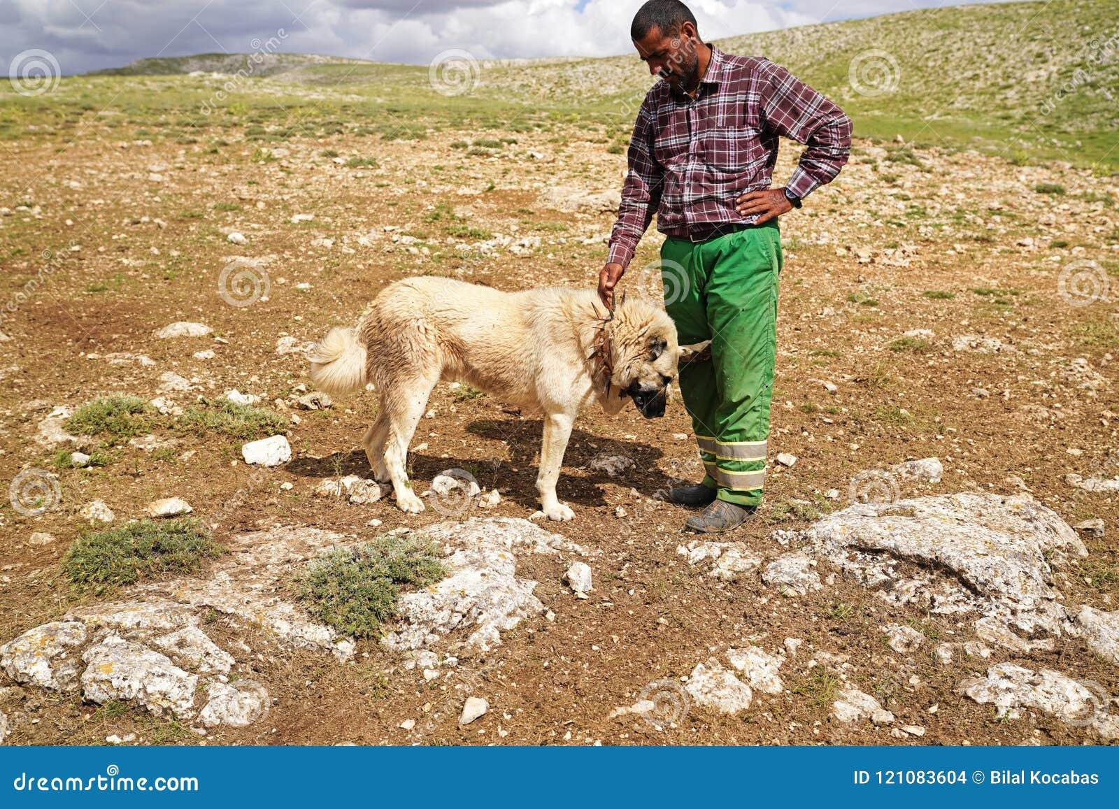 Gurun, Sivas/Turkey-June 21 2018: Anatolian shepherd dog with sp