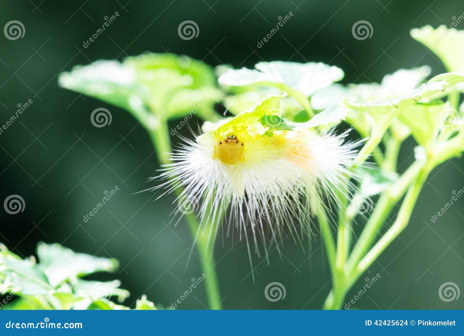 Gusano amarillo de la mariposa