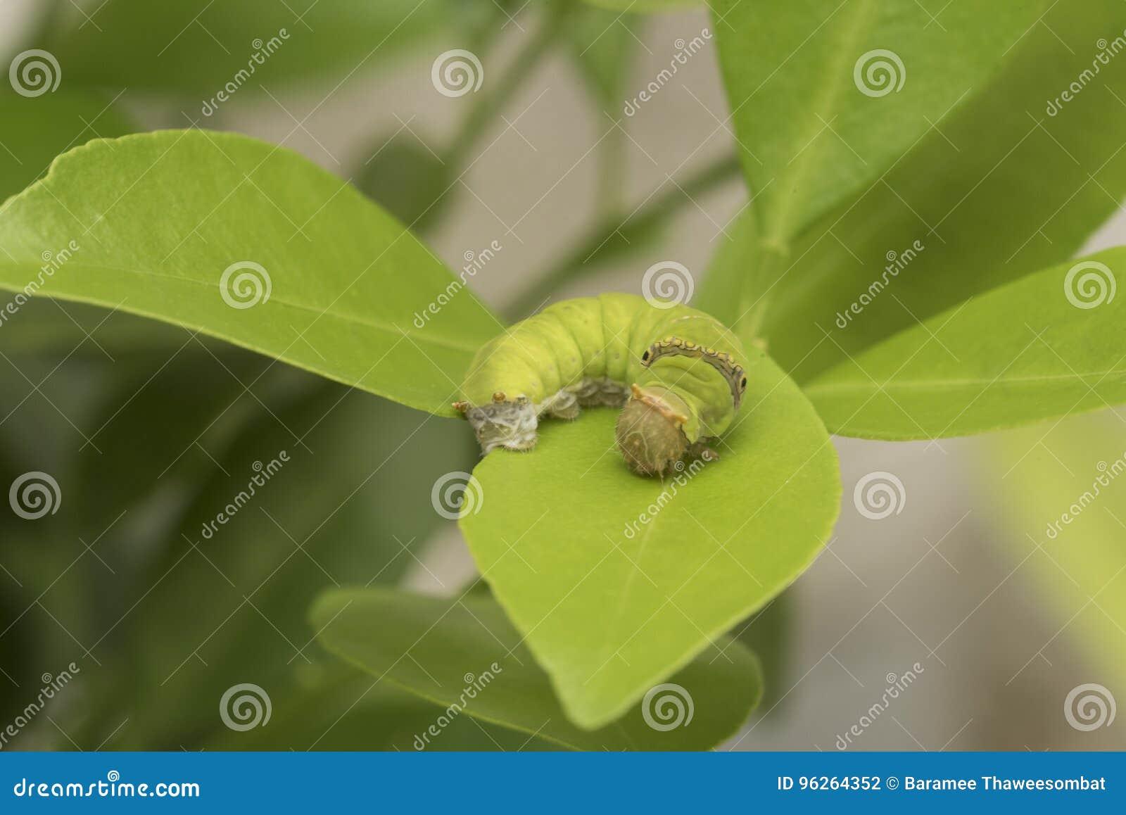 imagenes de gusano en hoja