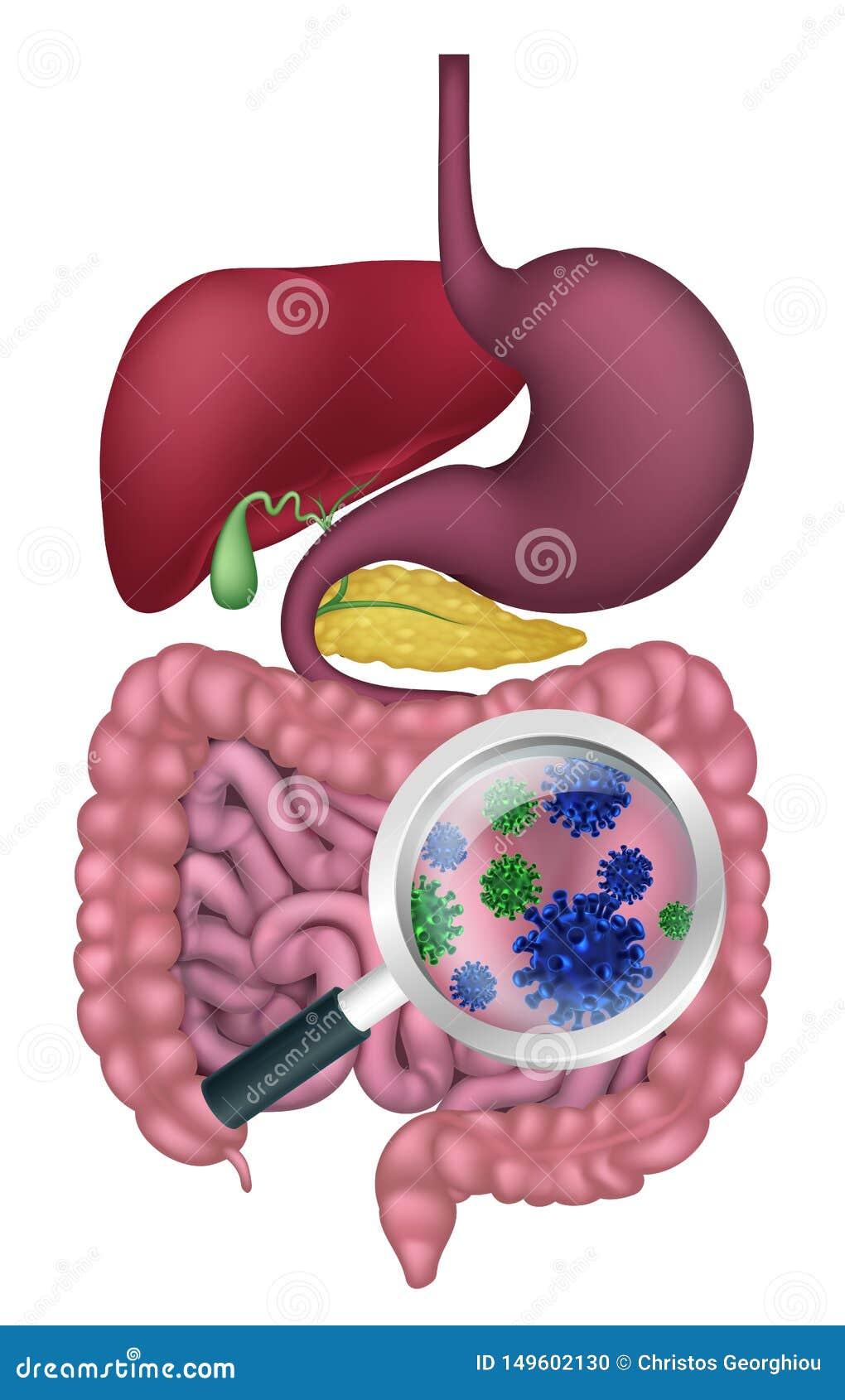 bacterii digestive
