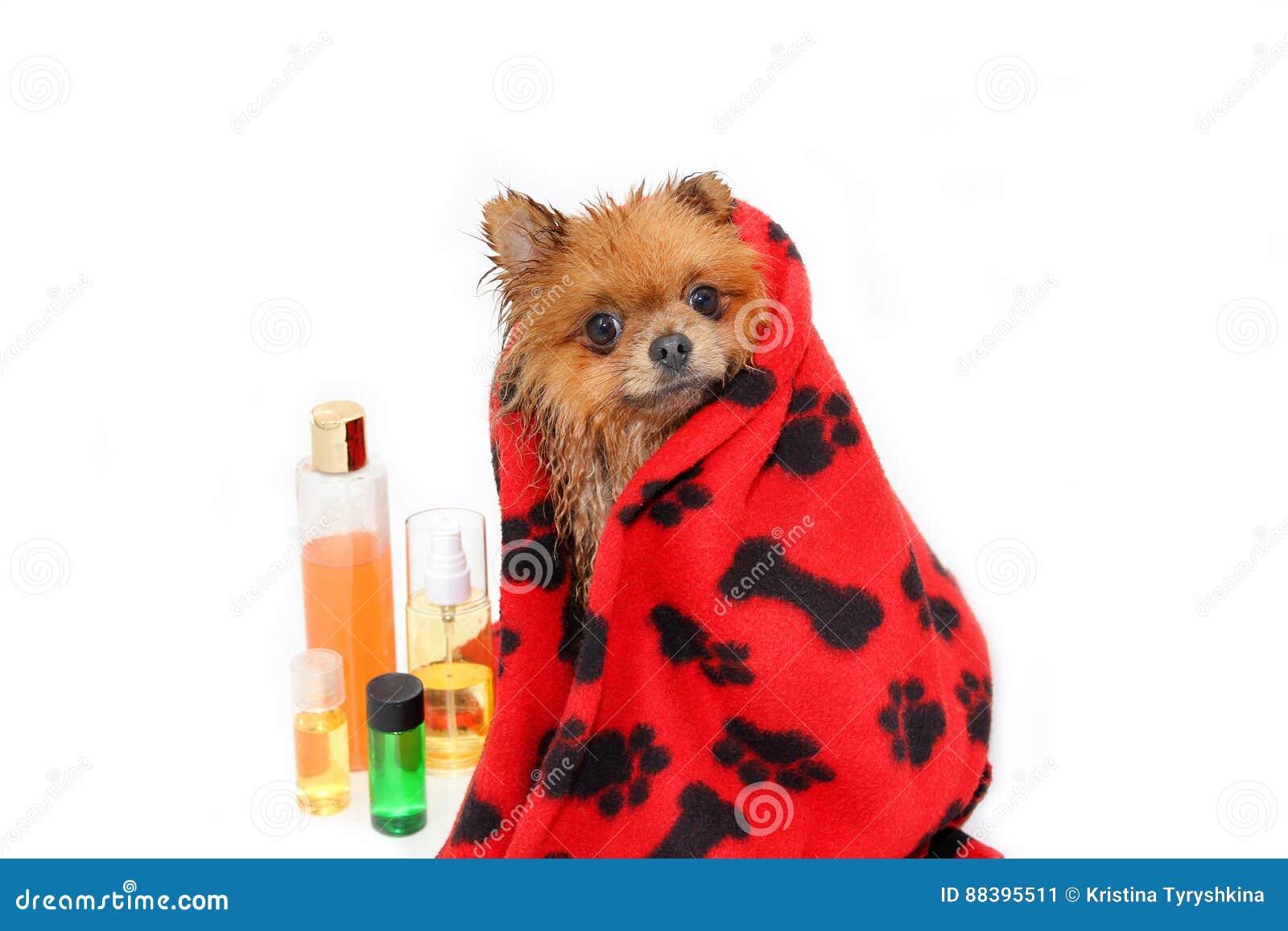 Gut gepflegter Hund pflegen Pflegen eines pomeranian Hundes Lustiges pomeranian im Bad Hund, der eine Dusche nimmt Hund auf weiße